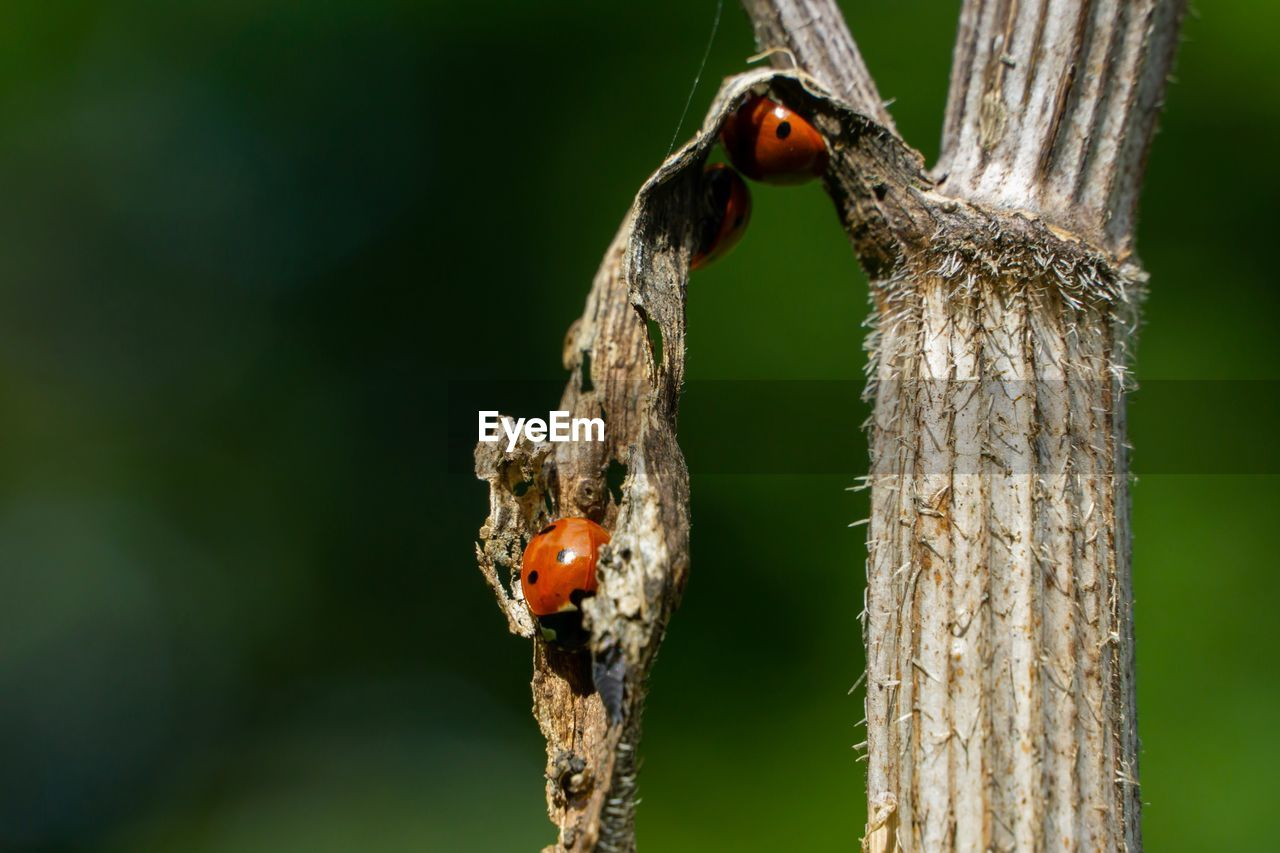 animals in the wild, animal themes, animal, animal wildlife, insect, invertebrate, focus on foreground, close-up, ladybug, plant, one animal, day, beetle, nature, tree, no people, tree trunk, outdoors, trunk, wood - material