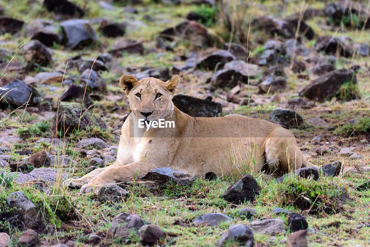 Portrait of lioness relaxing on field