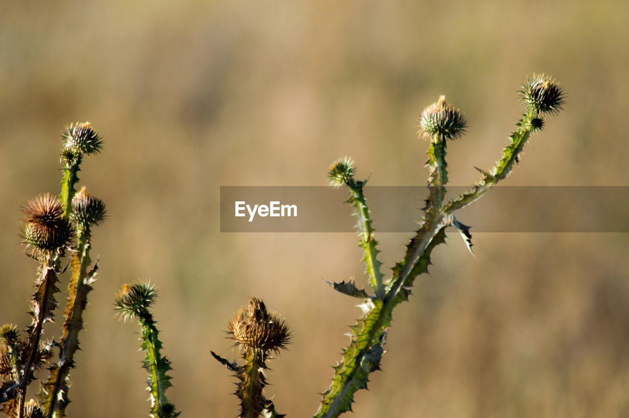 growth, plant, nature, focus on foreground, no people, day, outdoors, flower, close-up, beauty in nature, thistle, fragility, freshness