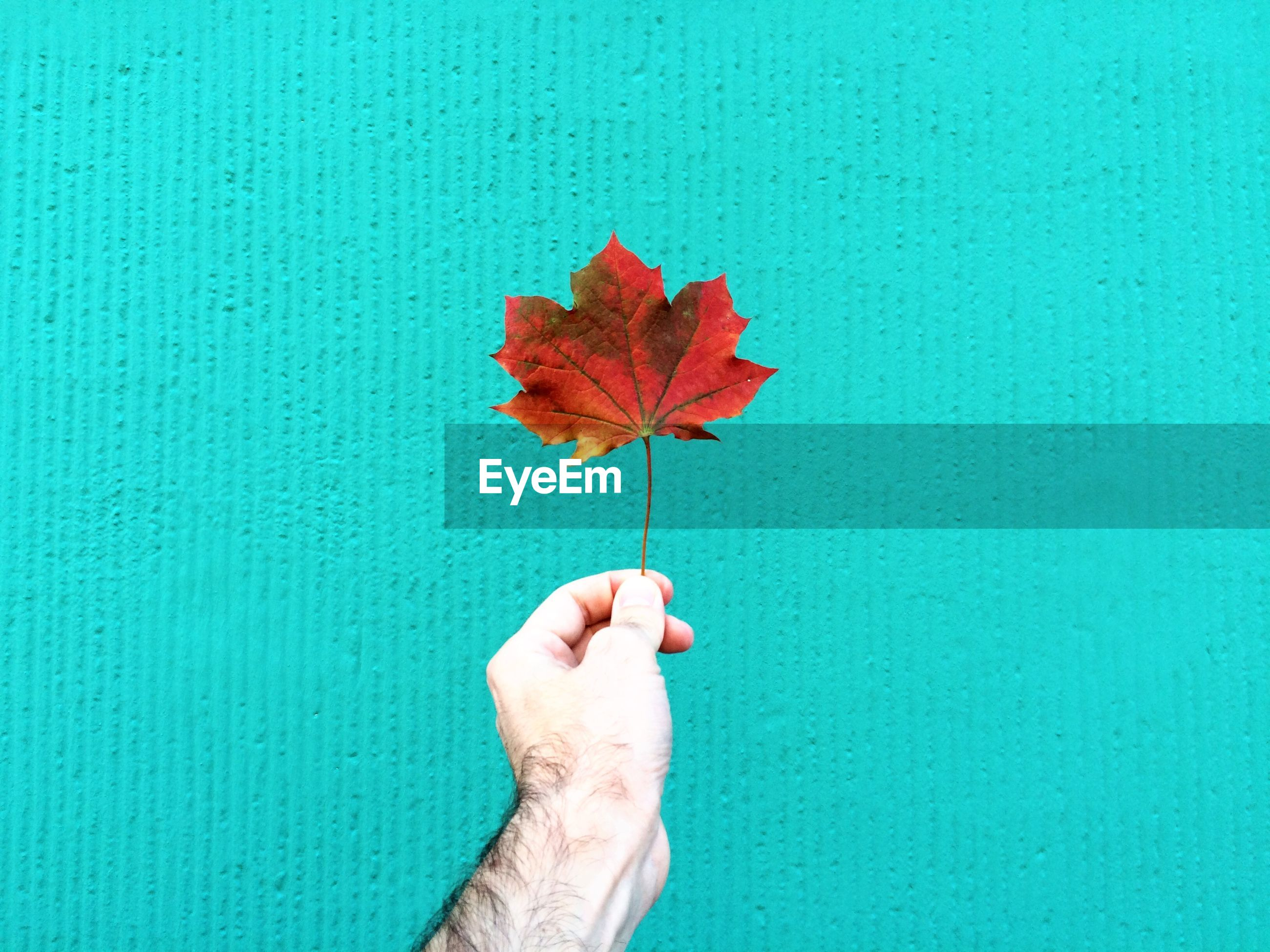 Cropped hand of man holding maple leaf against textured wall
