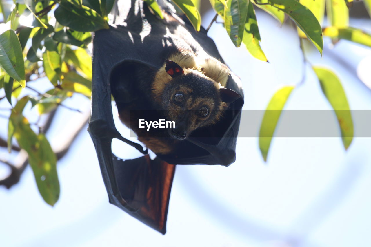 Low angle view of fruit bat on tree