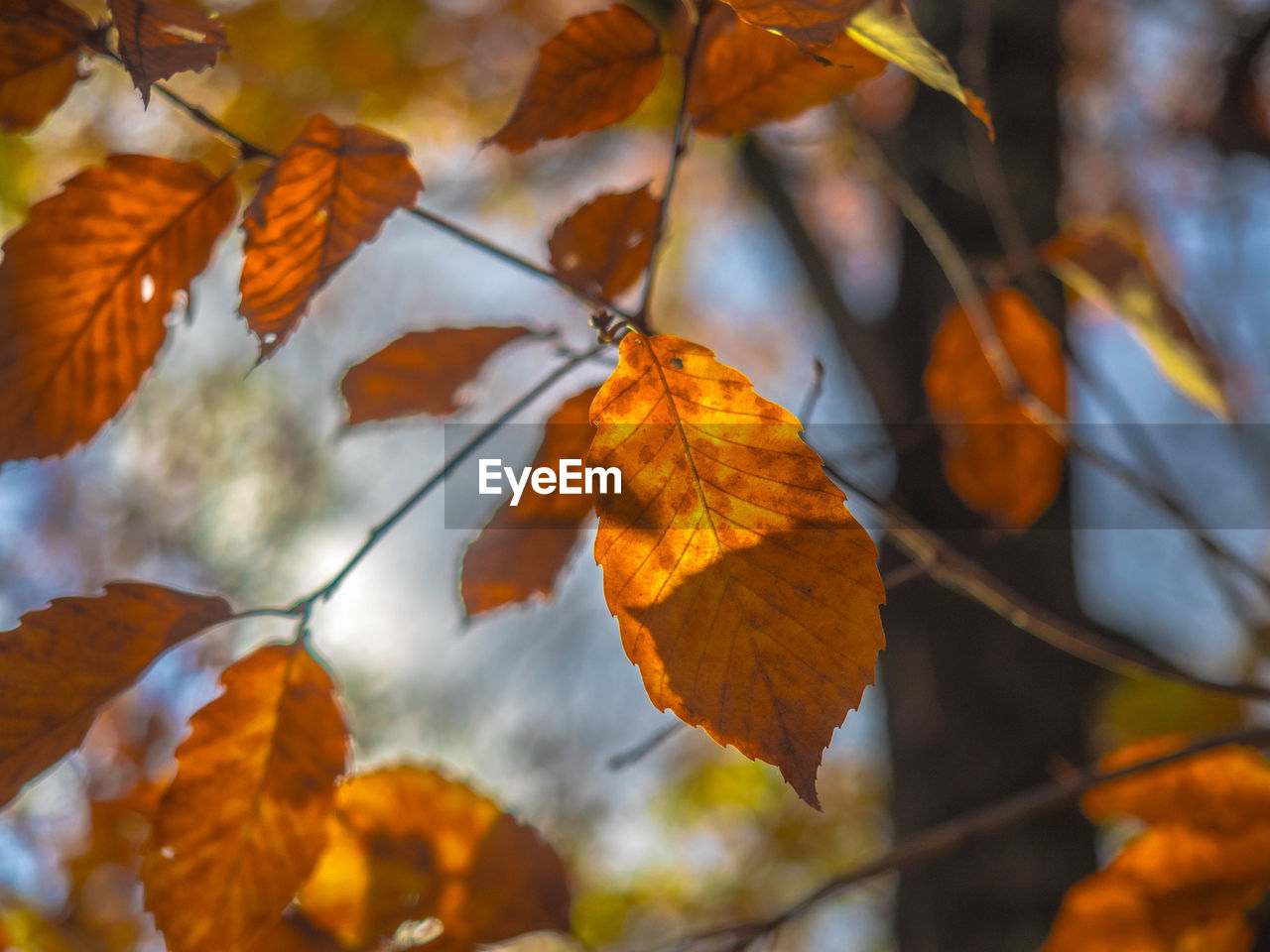 autumn, leaf, change, nature, orange color, beauty in nature, outdoors, day, focus on foreground, branch, no people, close-up, tree, low angle view, growth, maple, freshness