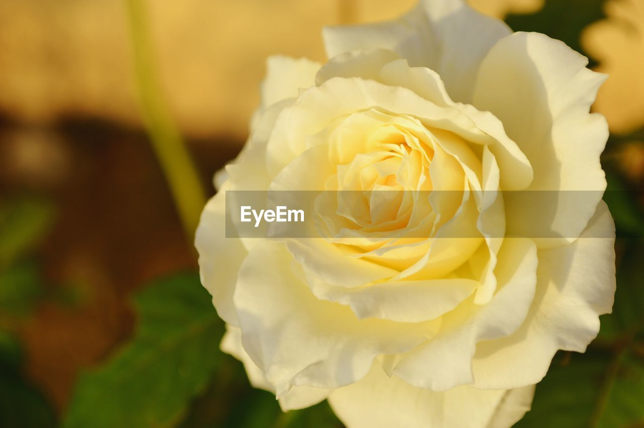 flowering plant, flower, beauty in nature, plant, petal, freshness, rose, vulnerability, fragility, rose - flower, close-up, flower head, inflorescence, growth, nature, focus on foreground, no people, white color, day, outdoors