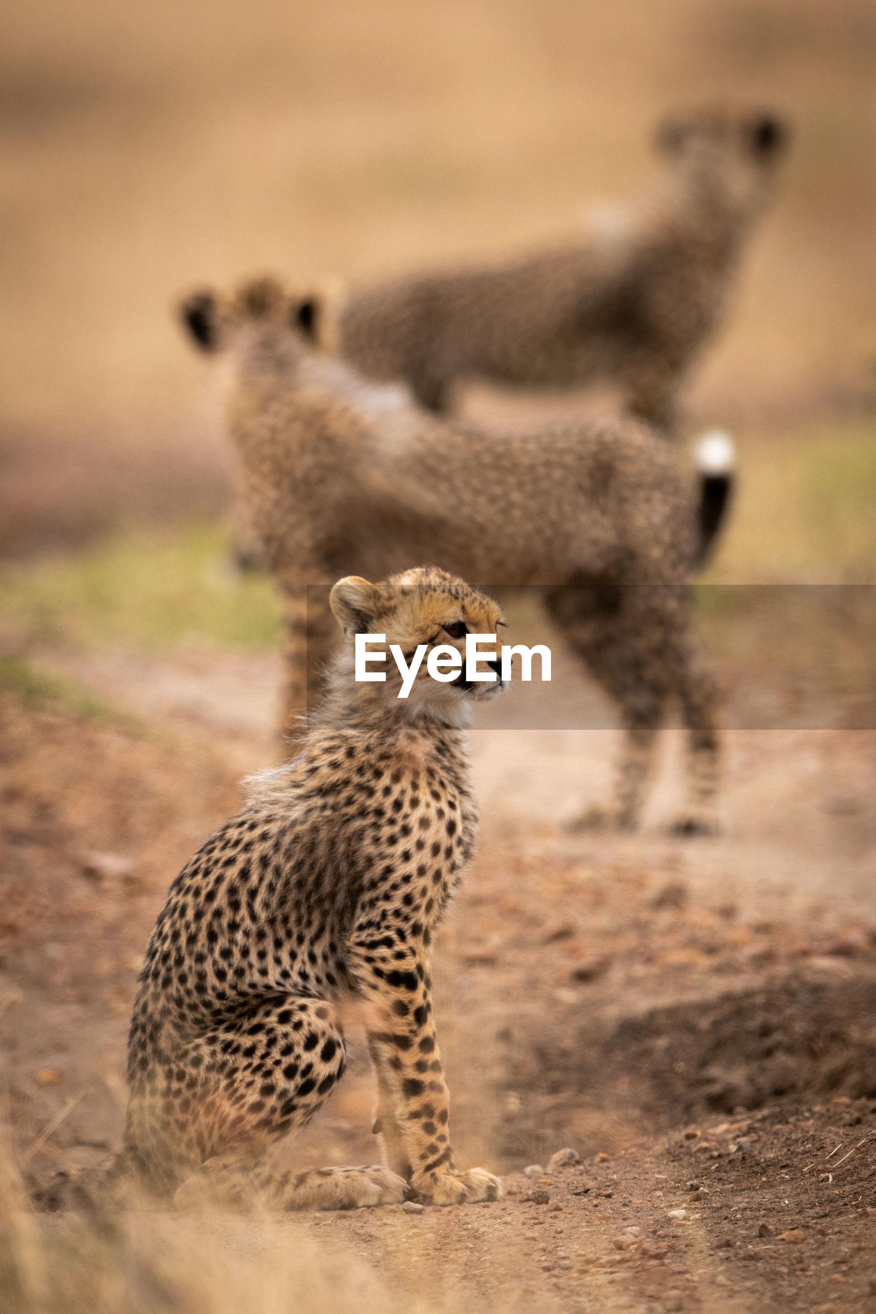 Cheetahs on field