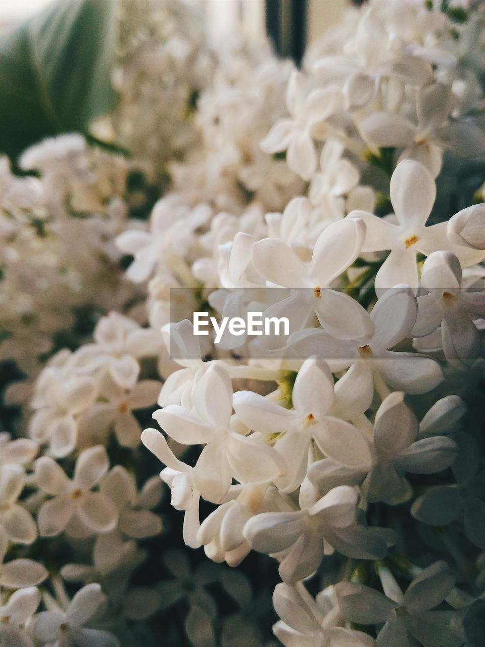 flower, white color, petal, beauty in nature, nature, freshness, focus on foreground, flower head, close-up, no people, fragility, plant, indoors, day, growth