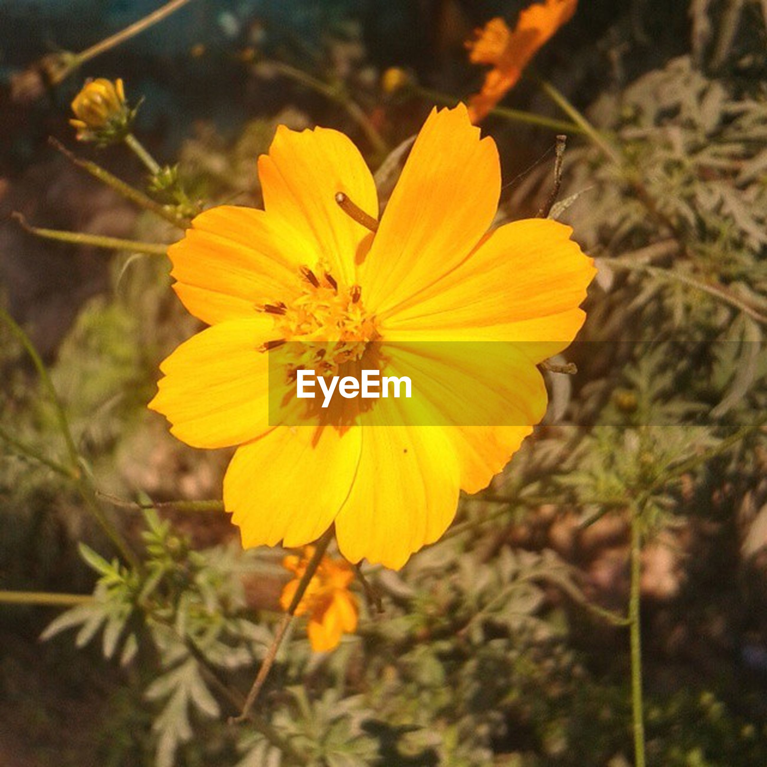 flower, petal, yellow, freshness, fragility, flower head, growth, close-up, focus on foreground, beauty in nature, nature, blooming, plant, single flower, pollen, in bloom, stamen, blossom, no people, outdoors