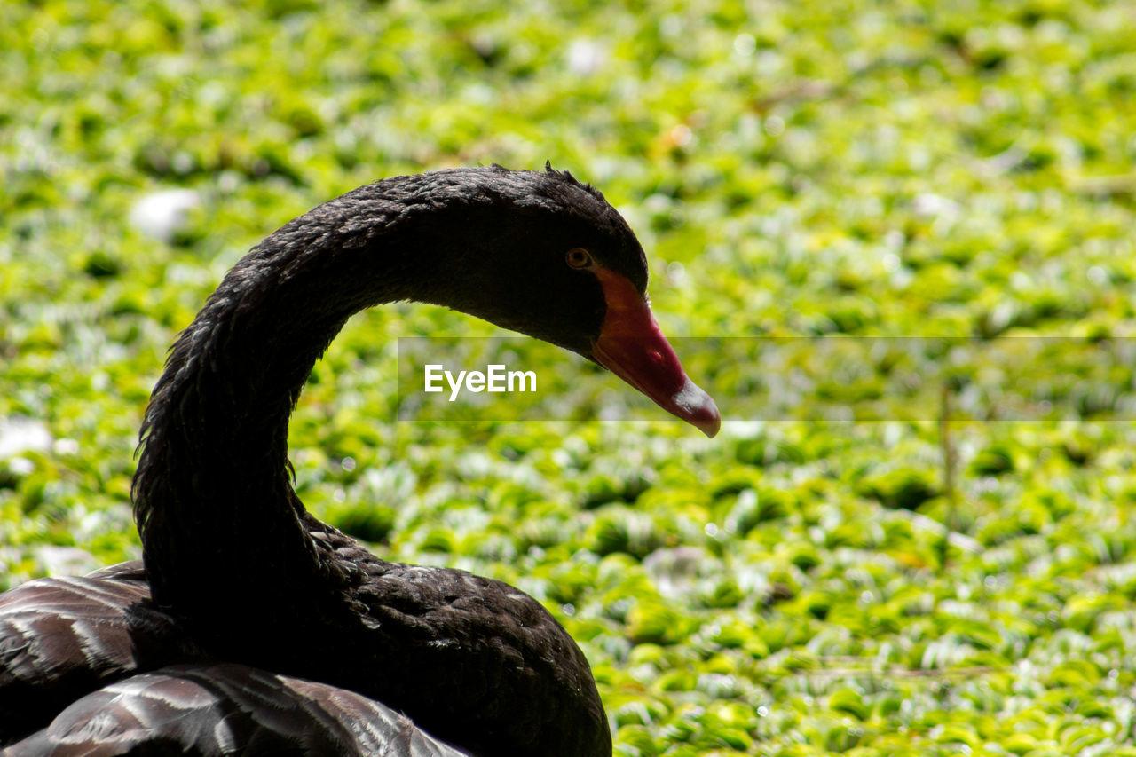 animal themes, animals in the wild, bird, one animal, black swan, beak, animal wildlife, focus on foreground, nature, swan, outdoors, water bird, no people, day, close-up