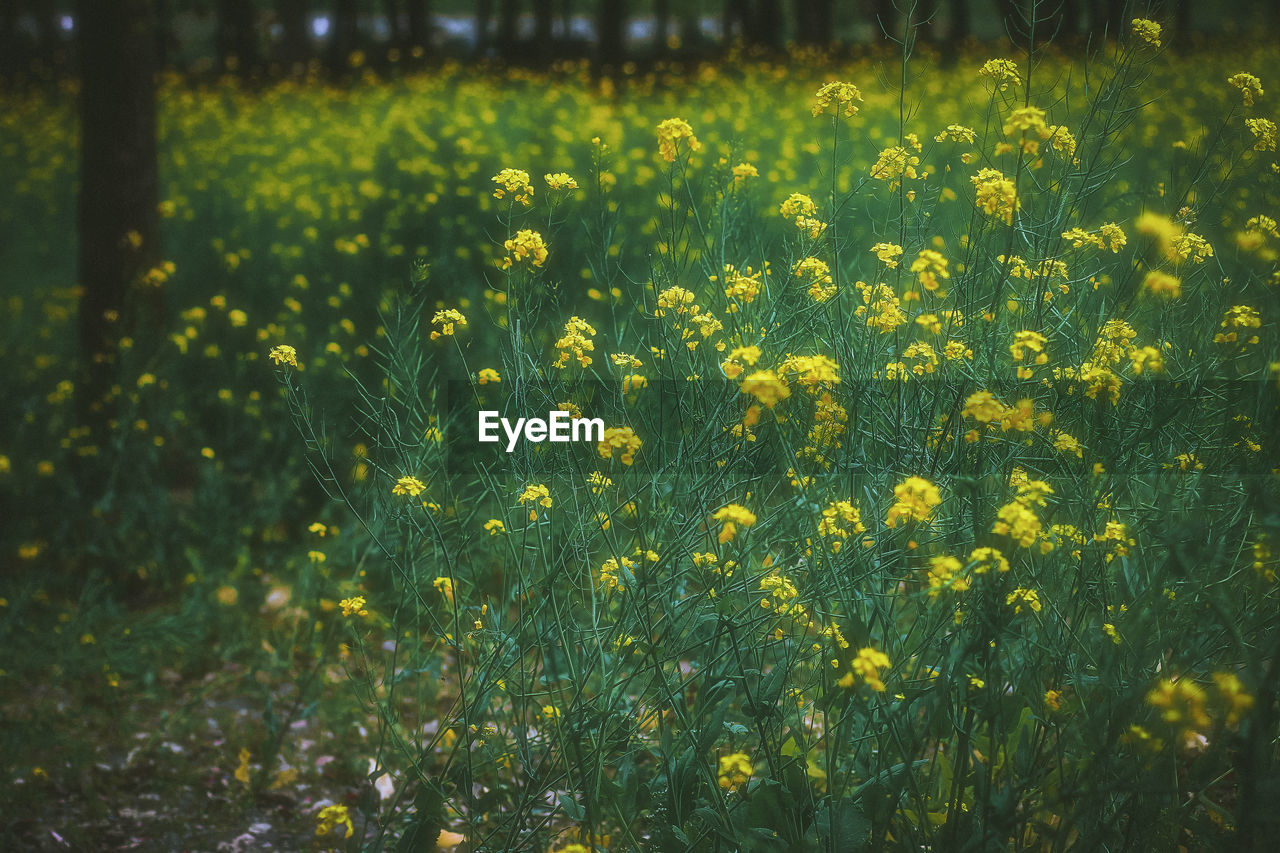 yellow, flower, nature, beauty in nature, field, growth, fragility, plant, tranquility, freshness, oilseed rape, abundance, outdoors, day, tranquil scene, no people, mustard plant, springtime, blooming, scenics, flower head
