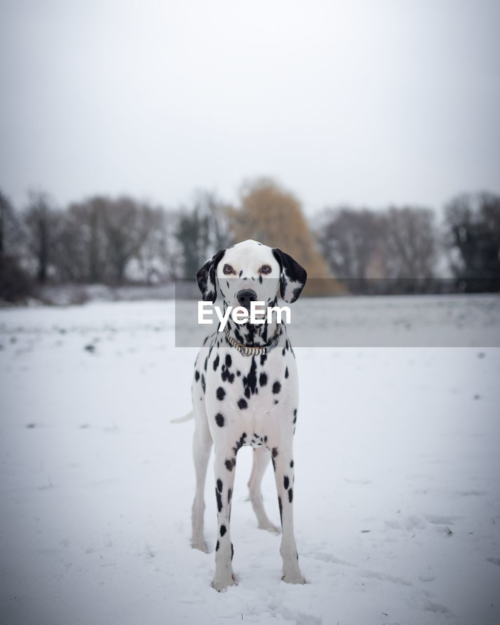 dog, canine, one animal, snow, dalmatian dog, animal themes, mammal, animal, pets, domestic animals, winter, domestic, cold temperature, vertebrate, white color, nature, looking at camera, spotted, day, no people, purebred dog