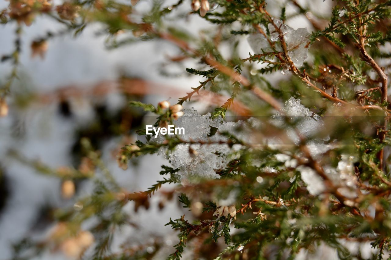 Close-Up Of Frozen Tree Branch During Winter