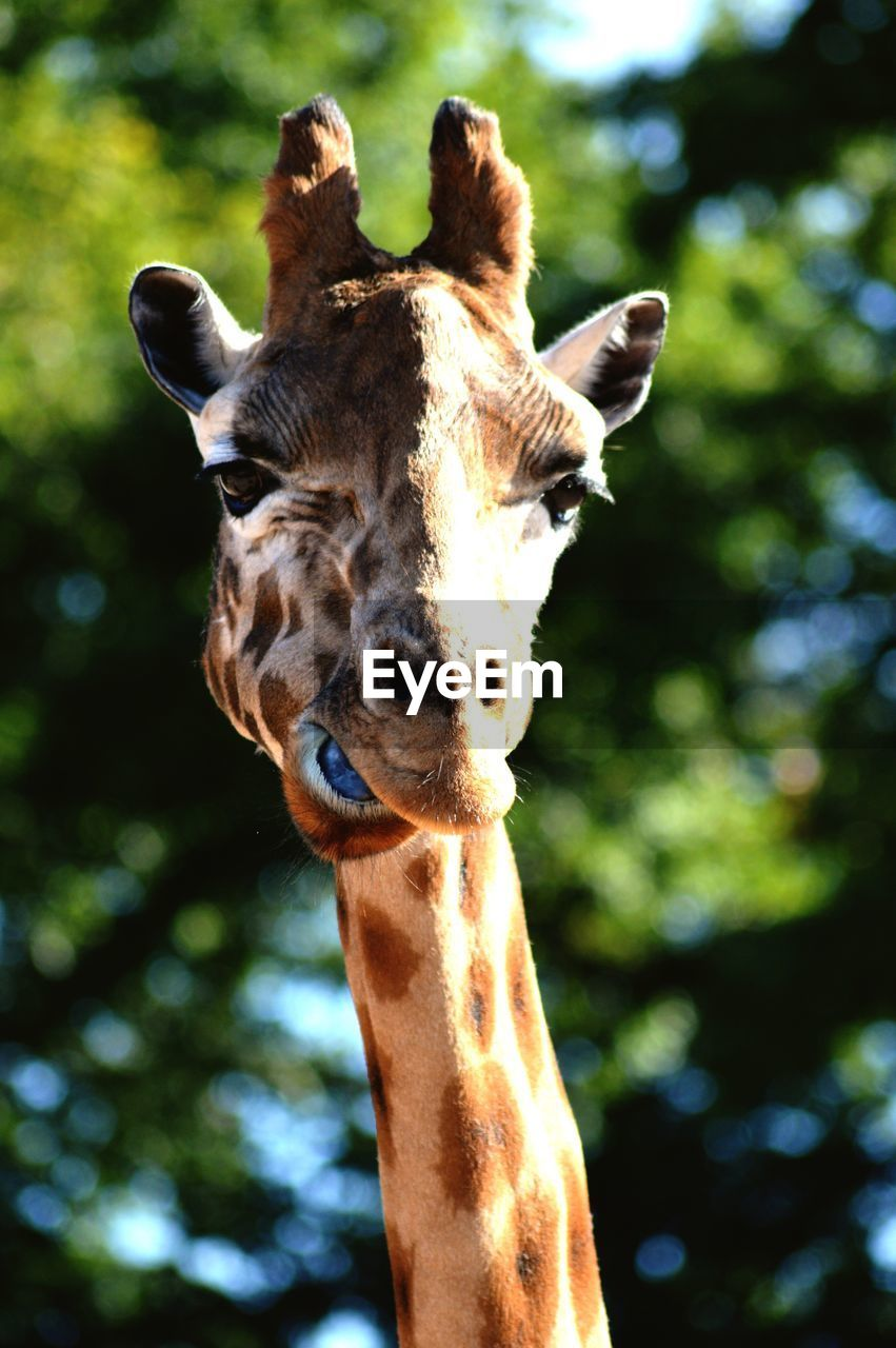 Close-Up Of Giraffe Against Tree On Sunny Day