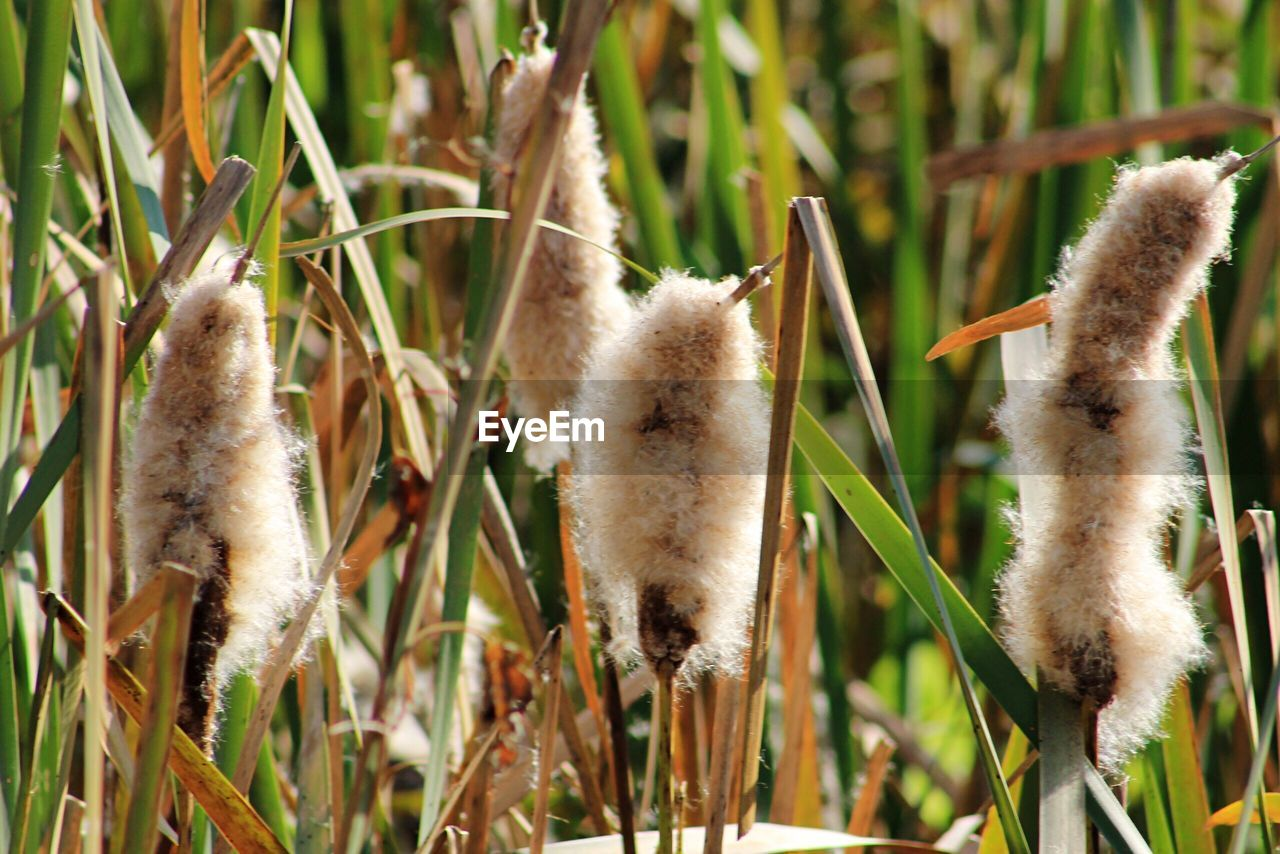 plant, growth, nature, no people, cattail, close-up, day, focus on foreground, grass, beauty in nature, land, sunlight, animal, green color, animal themes, brown, outdoors, field, selective focus, tranquility, blade of grass