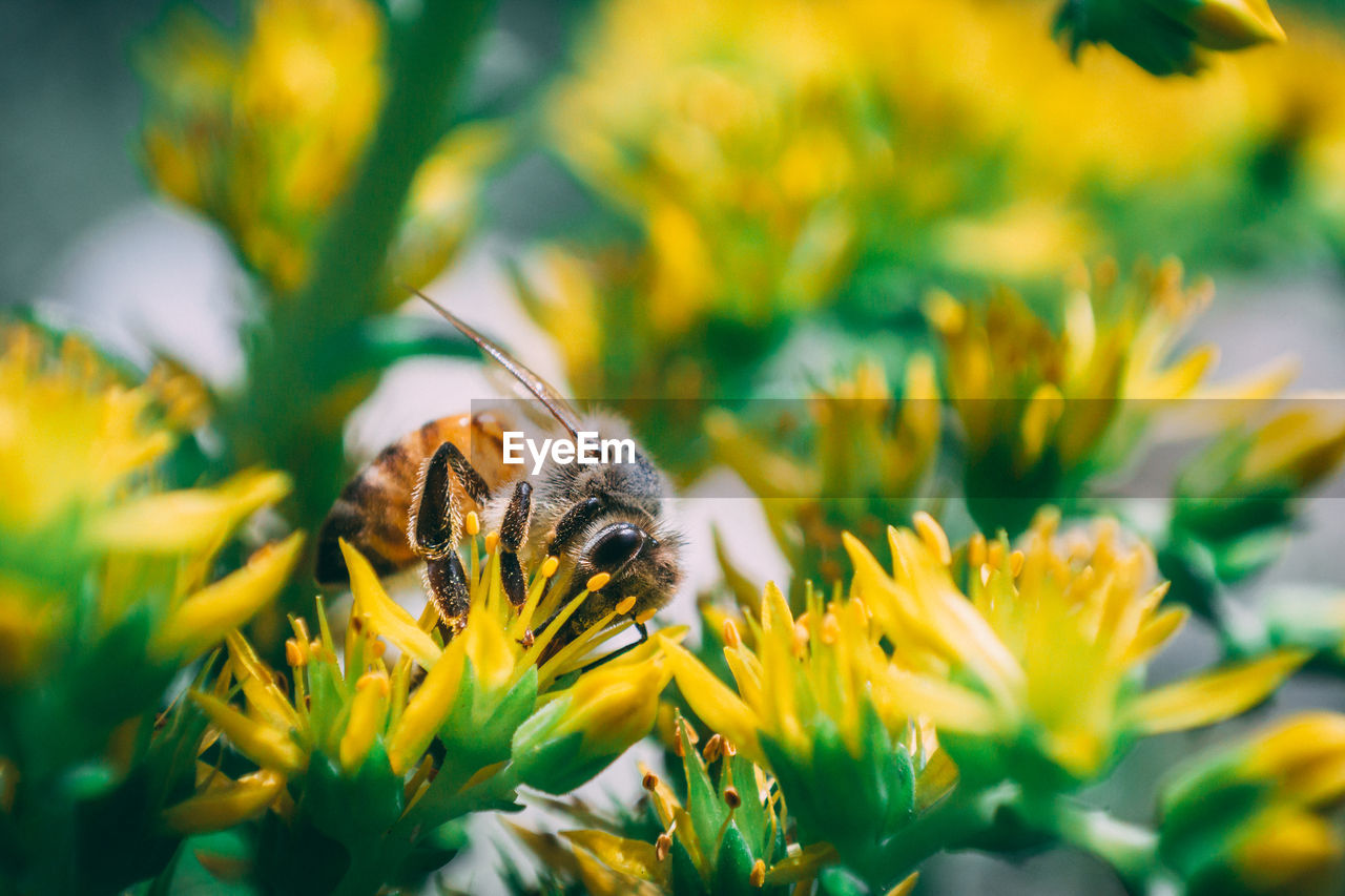 animal themes, animal, one animal, animal wildlife, flowering plant, animals in the wild, flower, plant, invertebrate, beauty in nature, insect, selective focus, fragility, vulnerability, close-up, flower head, bee, growth, petal, freshness, yellow, no people, pollination