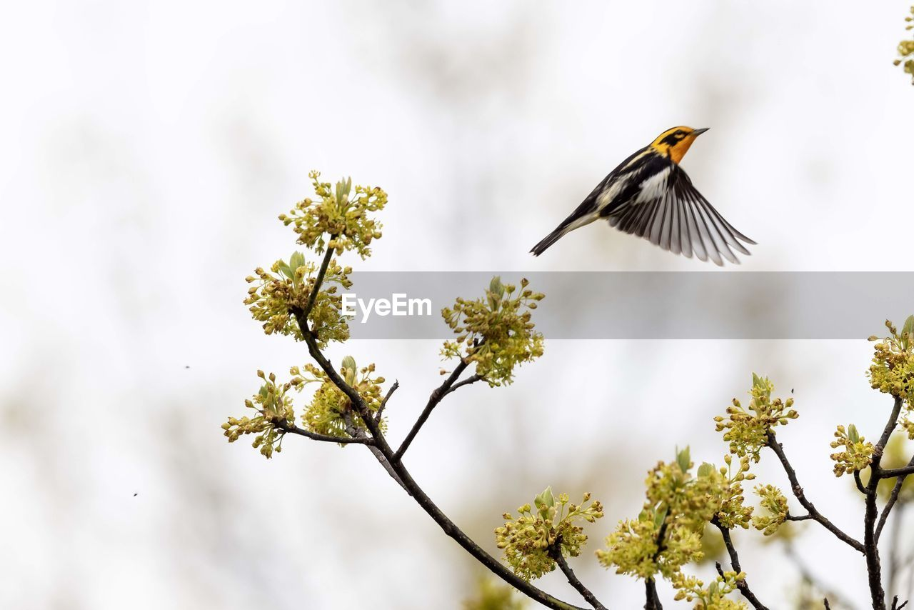 animal wildlife, animals in the wild, animal themes, one animal, animal, bird, vertebrate, flying, plant, tree, low angle view, day, no people, nature, beauty in nature, focus on foreground, branch, mid-air, spread wings, outdoors