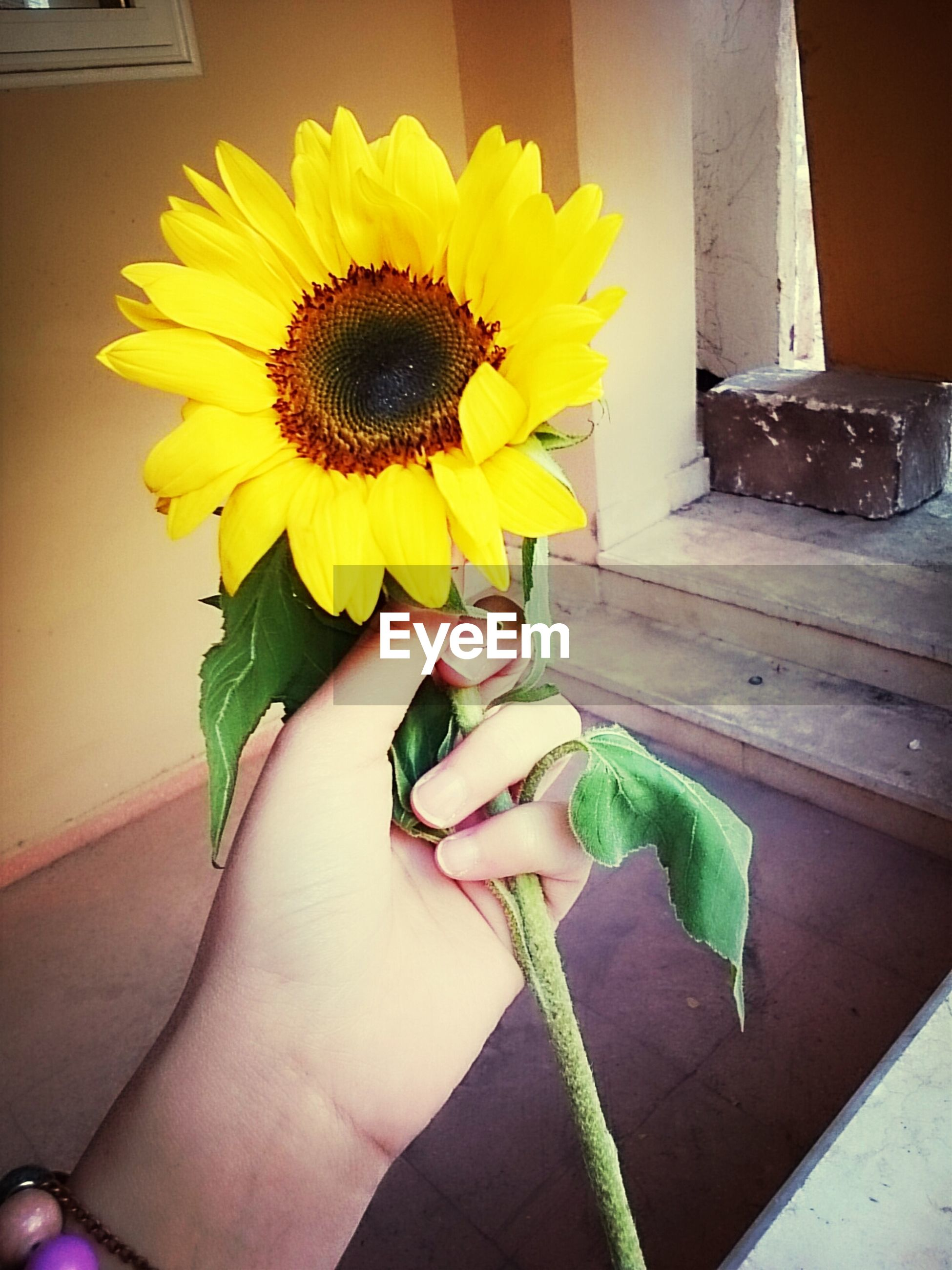 flower, yellow, person, holding, freshness, petal, flower head, fragility, part of, cropped, indoors, personal perspective, lifestyles, human finger, unrecognizable person, leaf