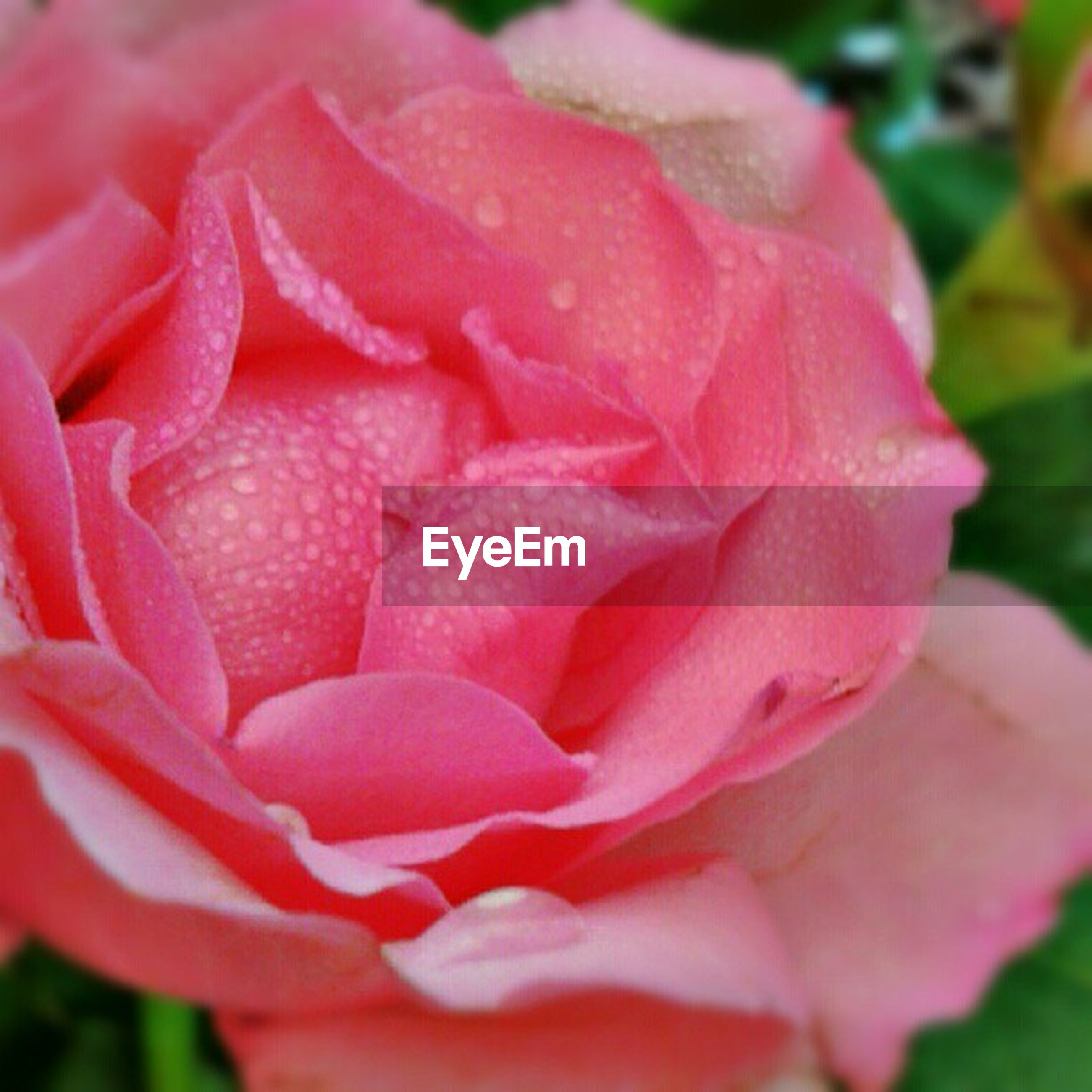 flower, petal, freshness, flower head, fragility, rose - flower, close-up, beauty in nature, growth, single flower, drop, blooming, focus on foreground, nature, pink color, wet, plant, water, red, in bloom