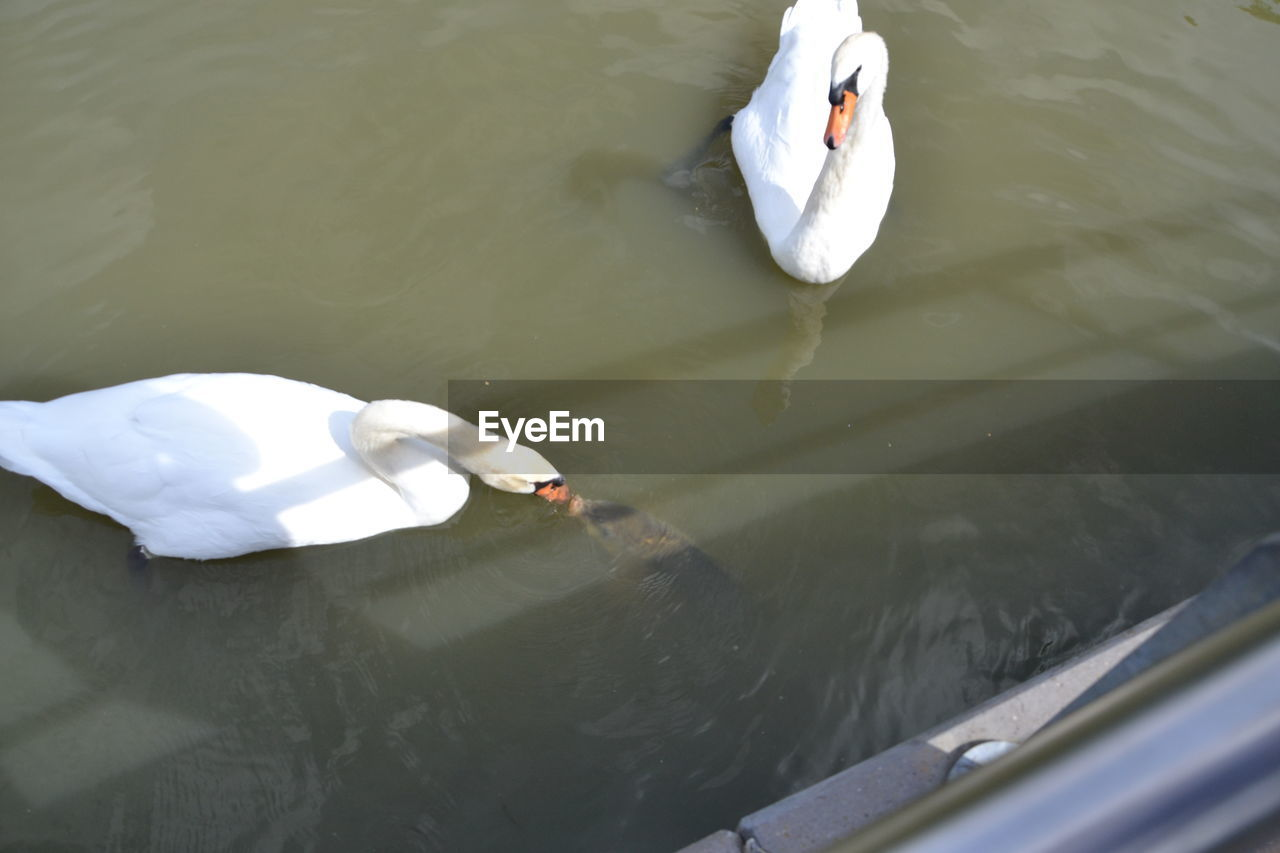 water, high angle view, lake, white color, swan, animal themes, swimming, animals in the wild, day, bird, nature, water bird, floating on water, animal wildlife, outdoors, one animal, waterfront, no people