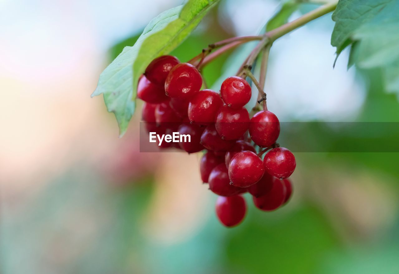 fruit, red, healthy eating, food, food and drink, berry fruit, growth, close-up, focus on foreground, freshness, plant, plant part, leaf, nature, day, no people, selective focus, beauty in nature, tree, green color, outdoors, ripe, rowanberry