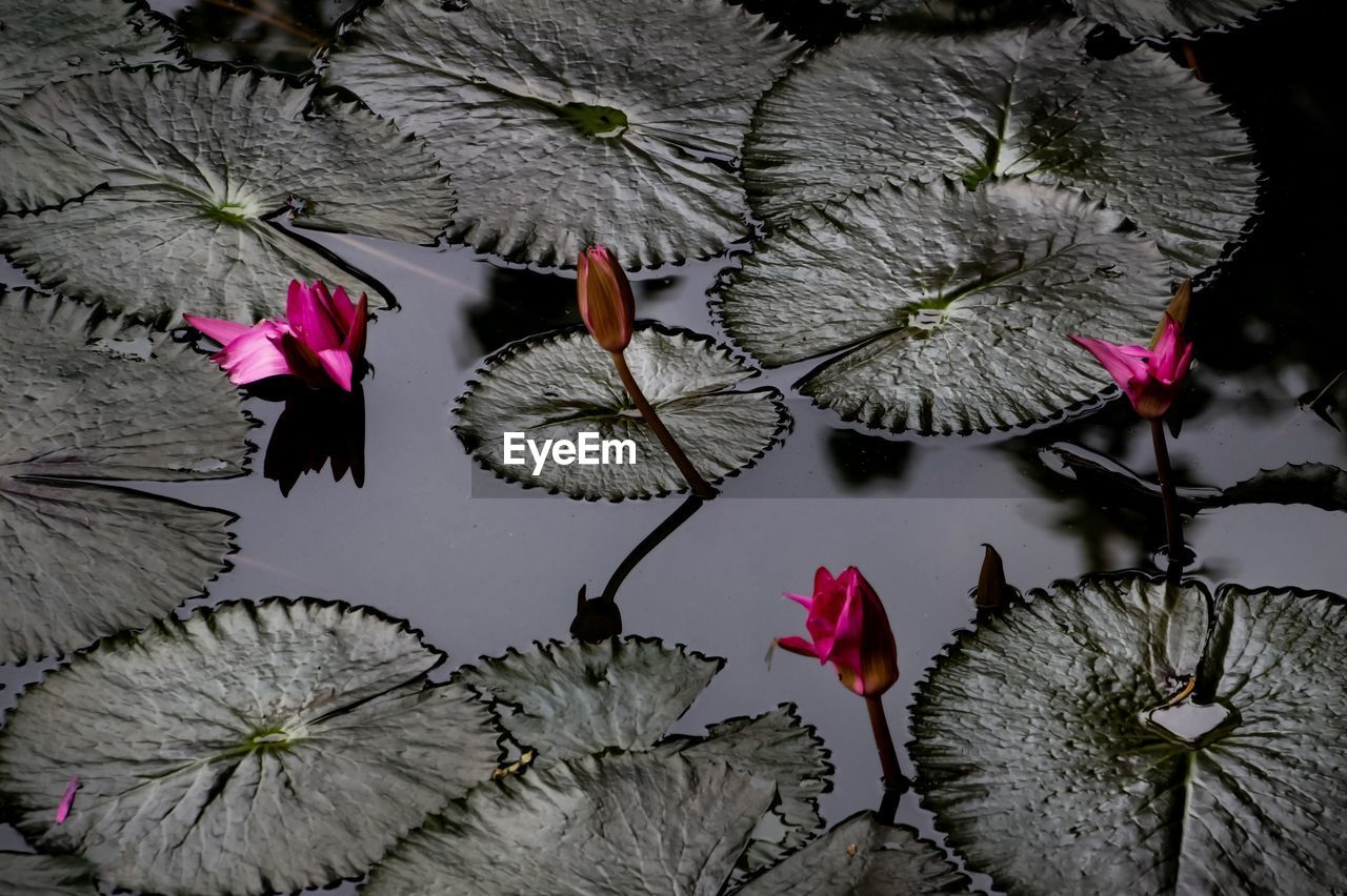 flower, flowering plant, plant, freshness, petal, beauty in nature, close-up, leaf, pink color, vulnerability, fragility, nature, plant part, flower head, water lily, inflorescence, red, no people, floating on water, floating, lotus water lily, leaves