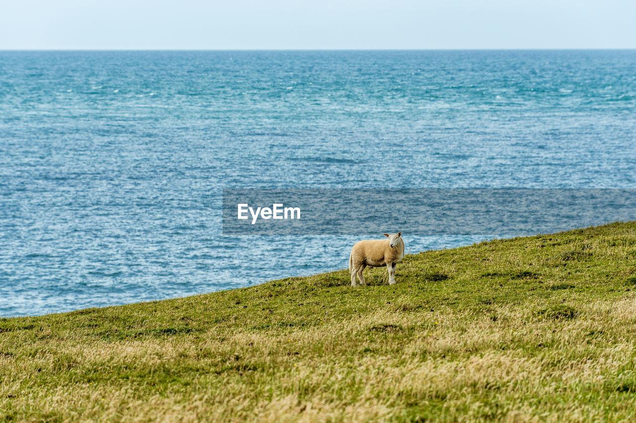 Sheep on grassy field by sea