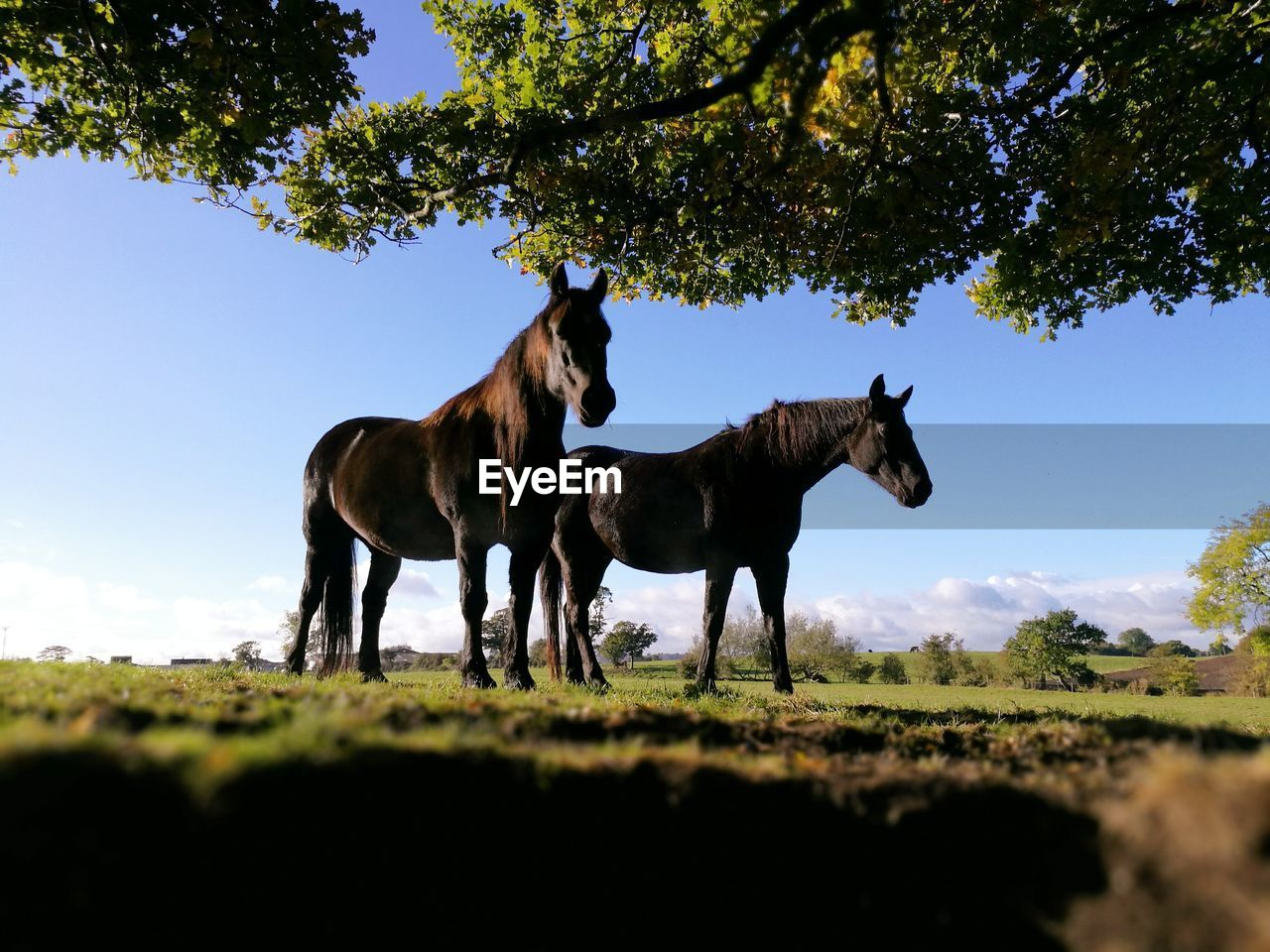 Horses standing on field against clear blue sky