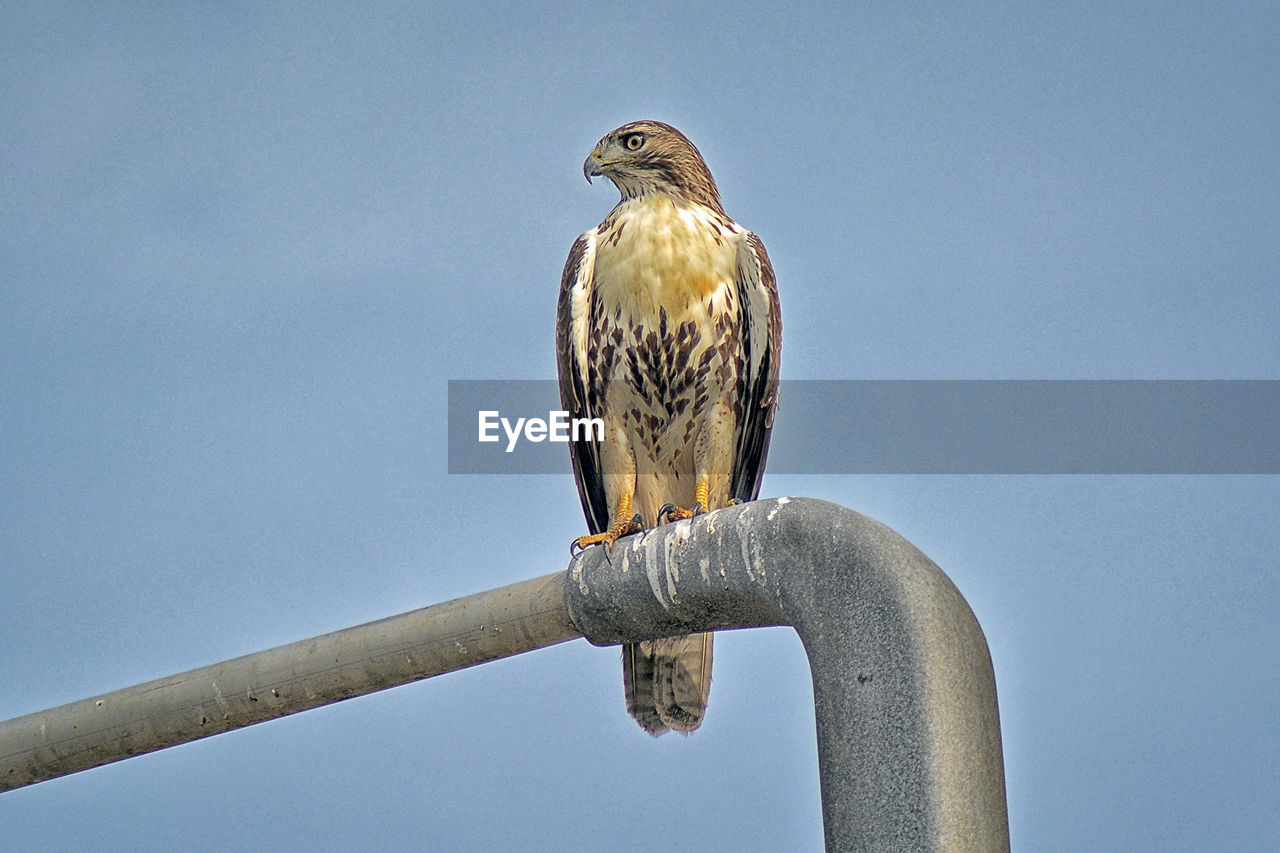 LOW ANGLE VIEW OF EAGLE PERCHING ON METAL POLE