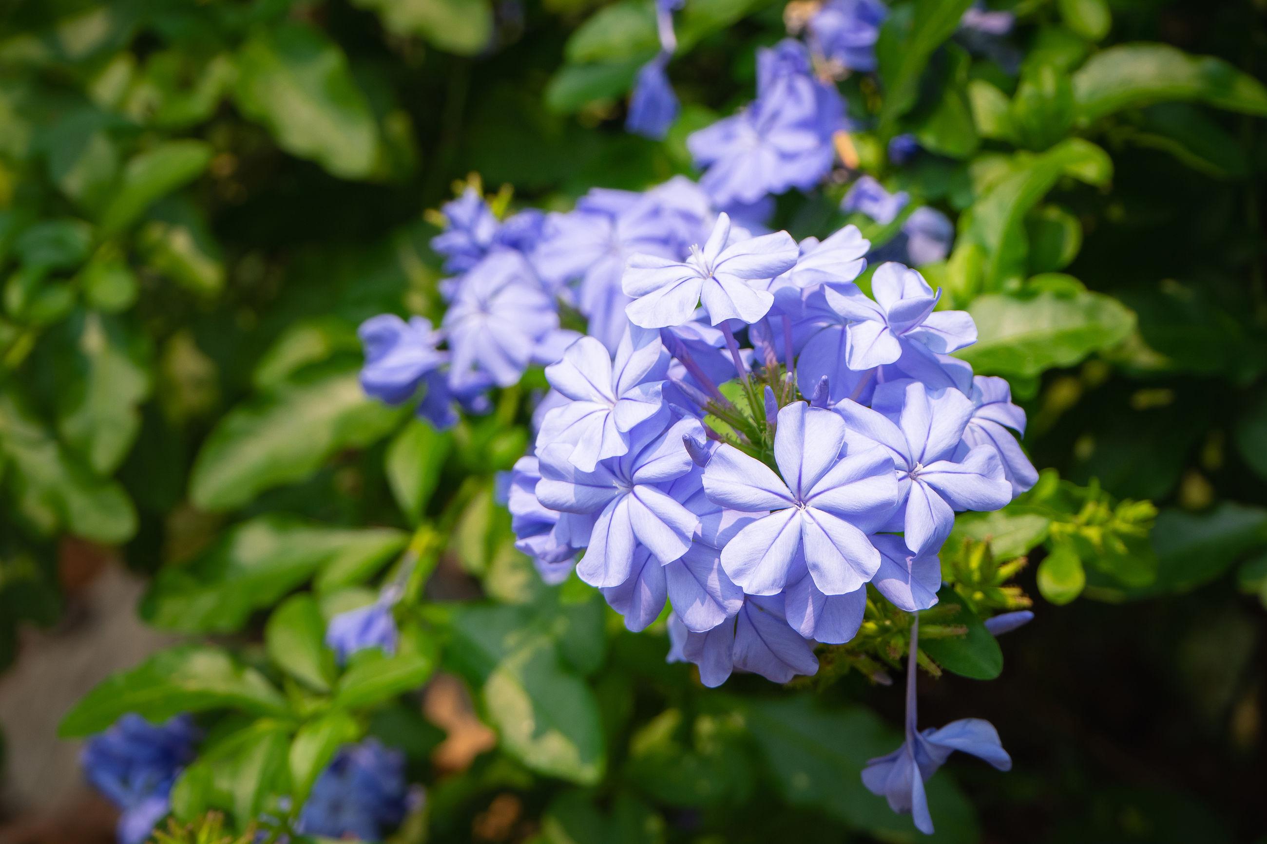 CLOSE-UP OF PURPLE BLUE FLOWERS