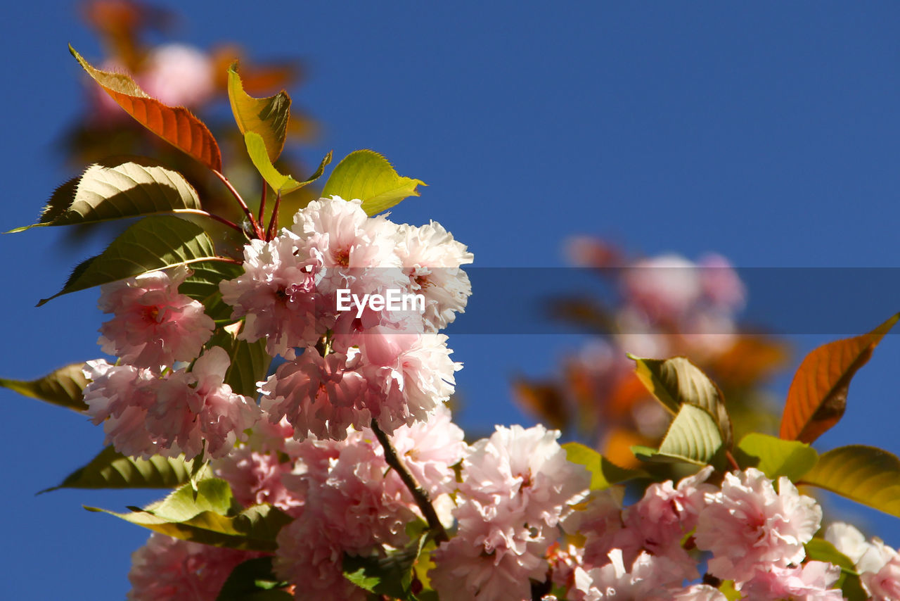 flower, fragility, beauty in nature, freshness, petal, growth, nature, no people, blossom, flower head, springtime, day, pink color, close-up, clear sky, outdoors, low angle view, blooming, branch, sky