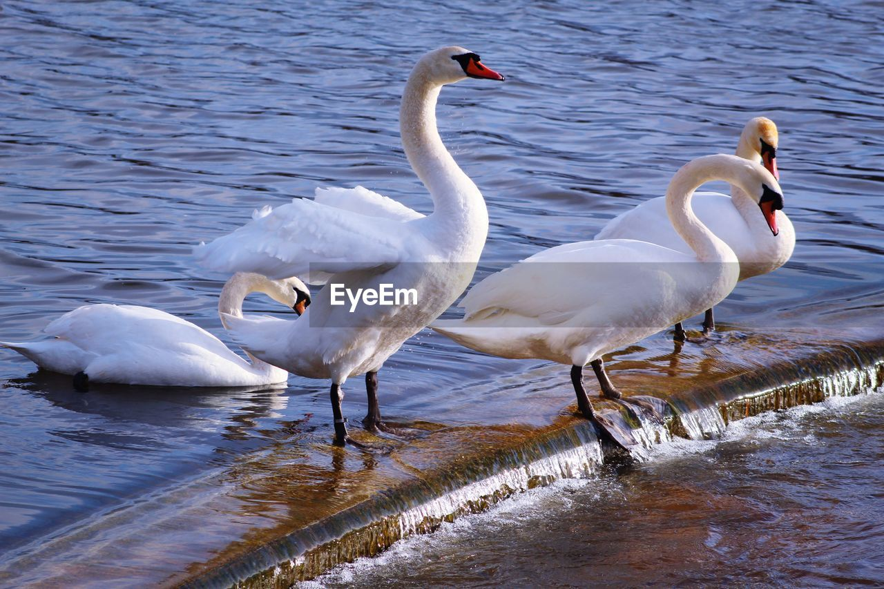 bird, water, vertebrate, animals in the wild, animal themes, group of animals, animal, animal wildlife, lake, swan, white color, nature, water bird, day, no people, beauty in nature, waterfront, cold temperature, zoology, animal family