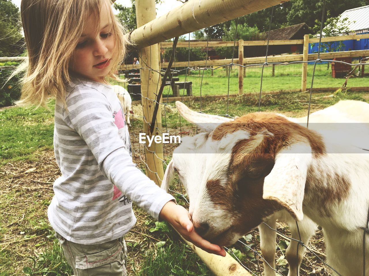 Side view of girl feeding goats at farm