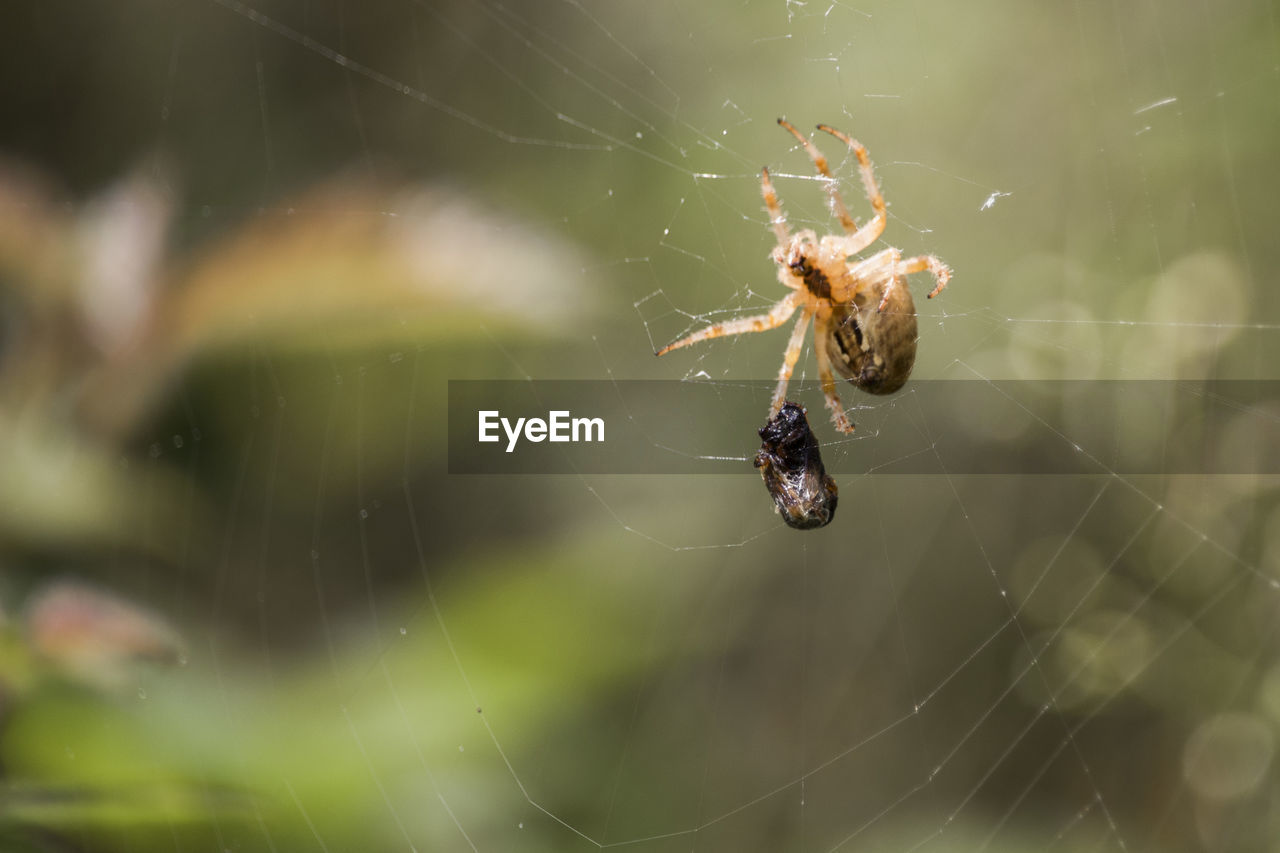 spider web, invertebrate, animal wildlife, animal, animal themes, arachnid, animals in the wild, insect, spider, arthropod, one animal, fragility, close-up, focus on foreground, vulnerability, survival, web, day, nature, spinning, no people, outdoors, animal leg