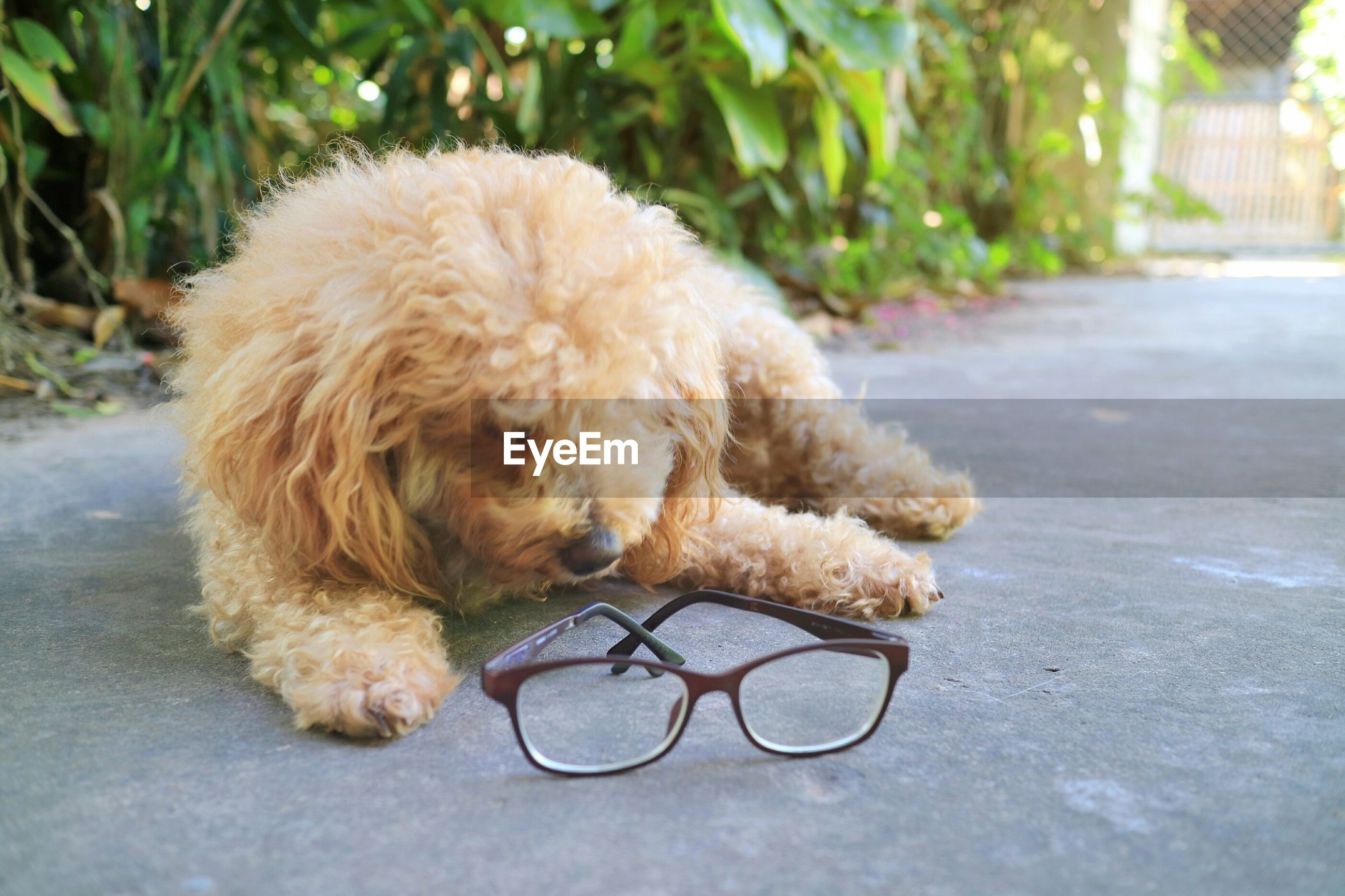 A cute yellow poodle dog lying on the concrete floor with glasses. take a break after work hard.
