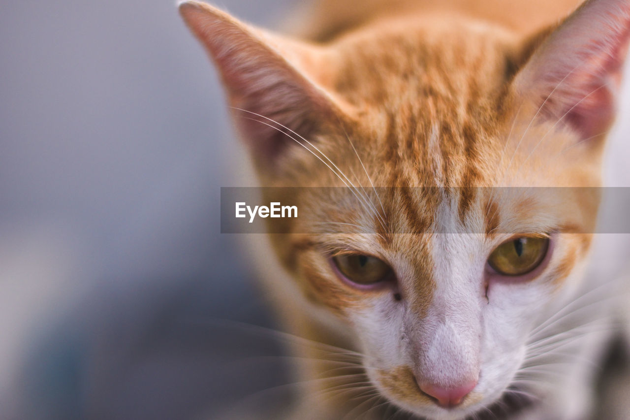 cat, domestic cat, domestic, pets, feline, domestic animals, mammal, one animal, vertebrate, whisker, close-up, portrait, looking at camera, no people, animal body part, focus on foreground, ginger cat, animal eye, tabby