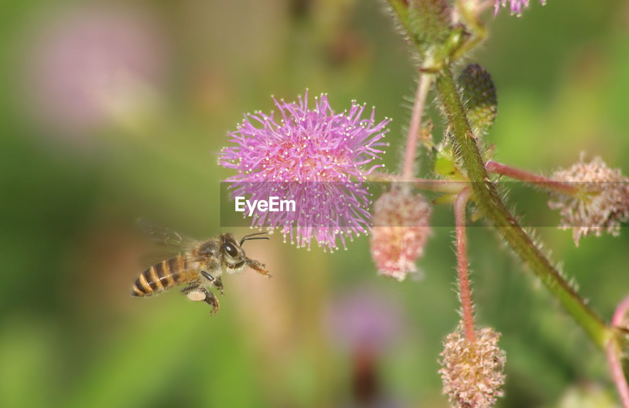 flower, flowering plant, animals in the wild, plant, beauty in nature, invertebrate, animal wildlife, insect, bee, animal, animal themes, fragility, vulnerability, flower head, freshness, close-up, growth, nature, petal, pollination, no people, outdoors, purple