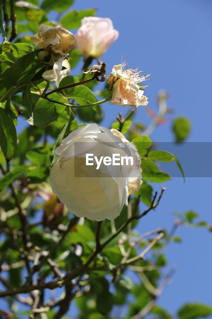 flower, petal, beauty in nature, white color, fragility, nature, rose - flower, flower head, plant, freshness, growth, leaf, no people, close-up, focus on foreground, blooming, day, outdoors