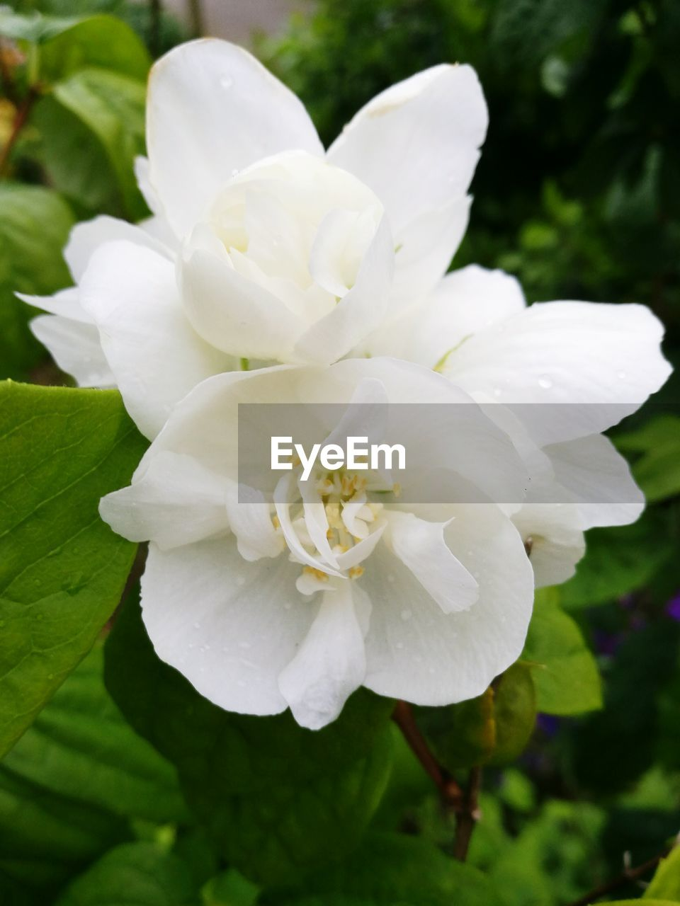 flower, white color, petal, nature, beauty in nature, fragility, growth, flower head, close-up, freshness, plant, day, drop, no people, outdoors, wild rose, blooming, water