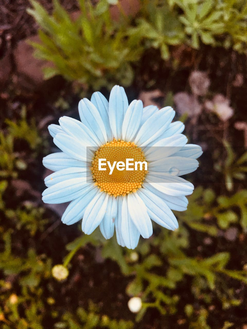 flower, flowering plant, vulnerability, plant, petal, fragility, beauty in nature, inflorescence, flower head, growth, freshness, close-up, focus on foreground, pollen, nature, white color, day, daisy, no people