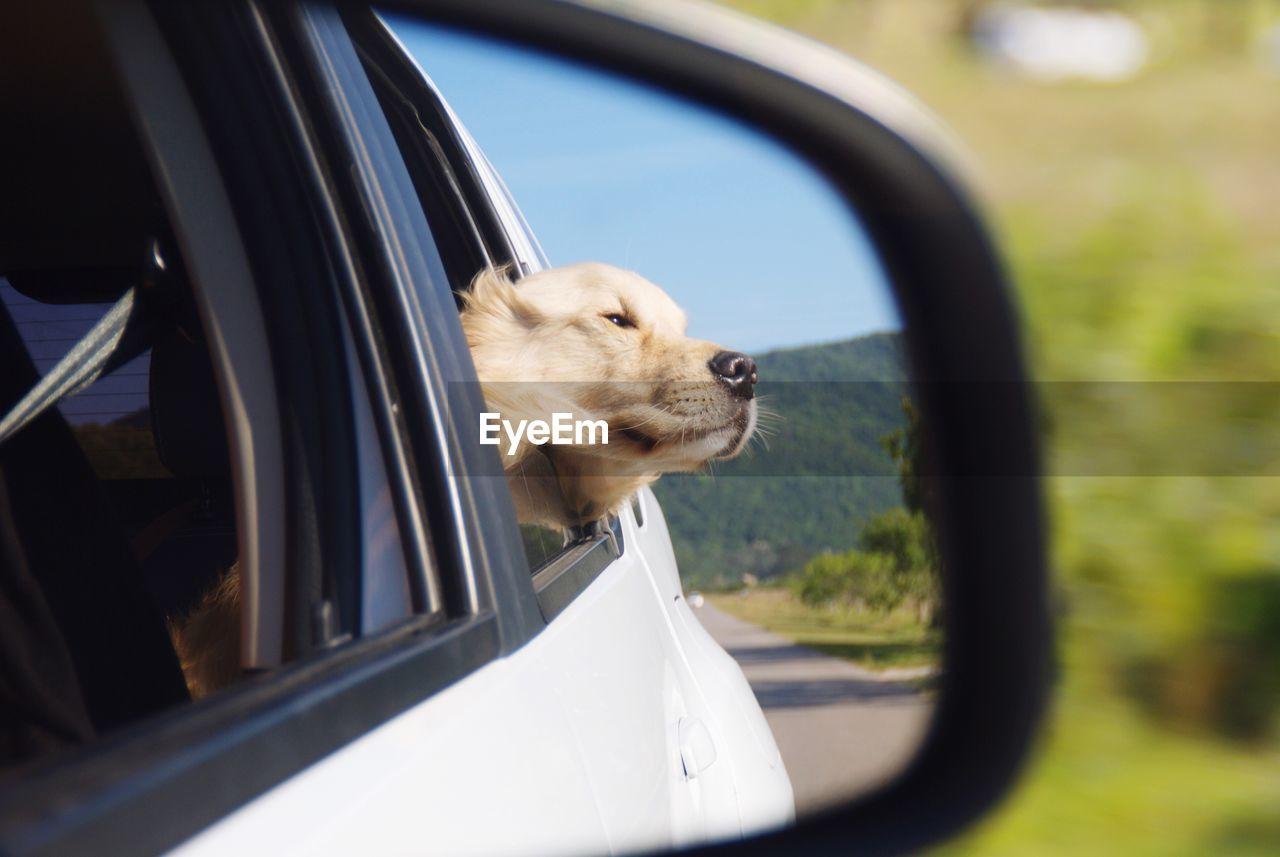 one animal, domestic, pets, mammal, dog, animal themes, canine, domestic animals, land vehicle, mode of transportation, animal, motor vehicle, transportation, side-view mirror, vertebrate, car, reflection, looking, no people, day, animal head, road trip