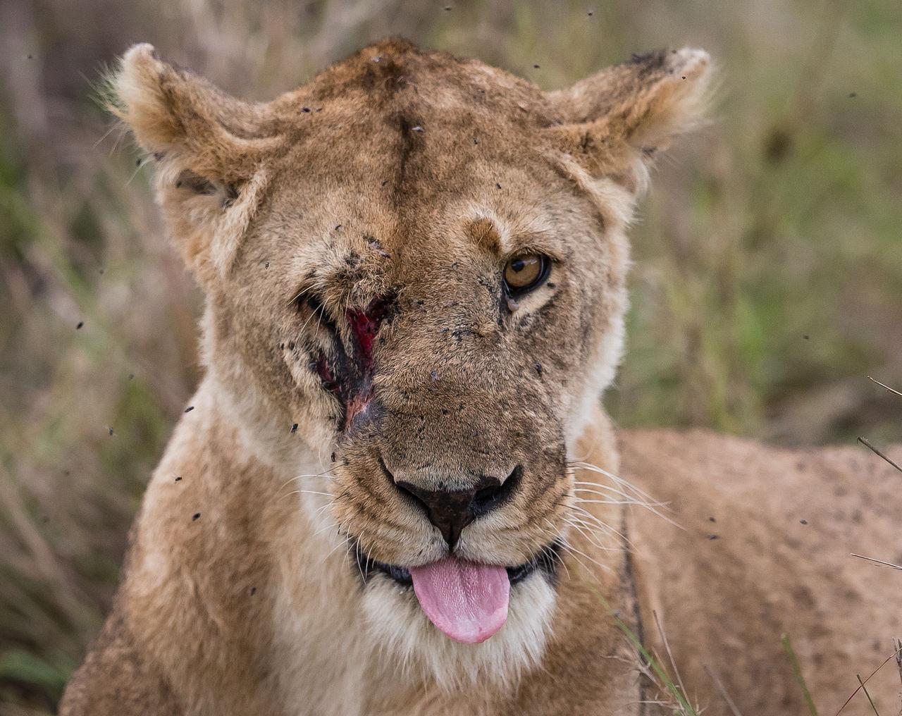 Portrait Of An Injured Lion