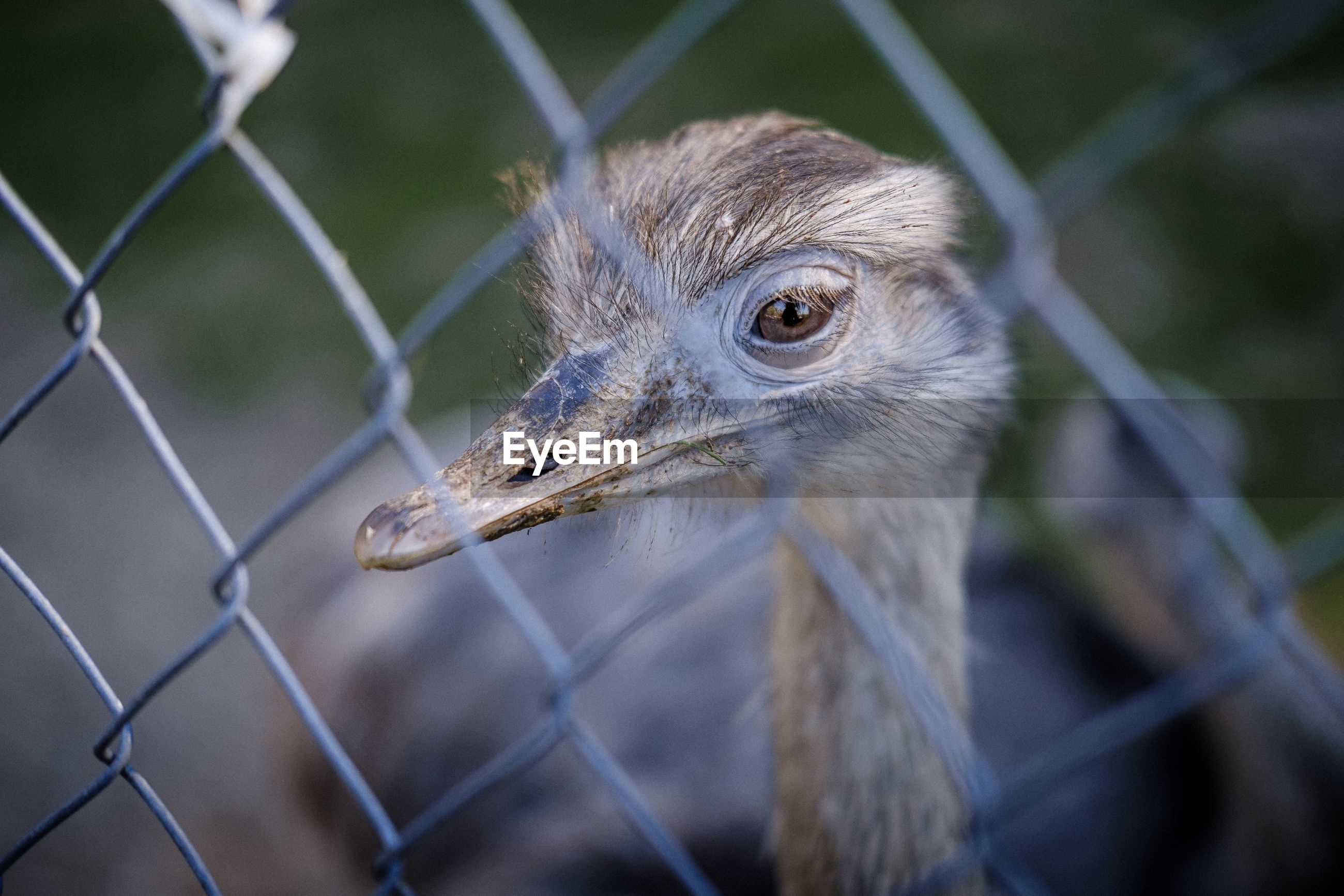 Close-up portrait of ostrich seen through chainlink fence