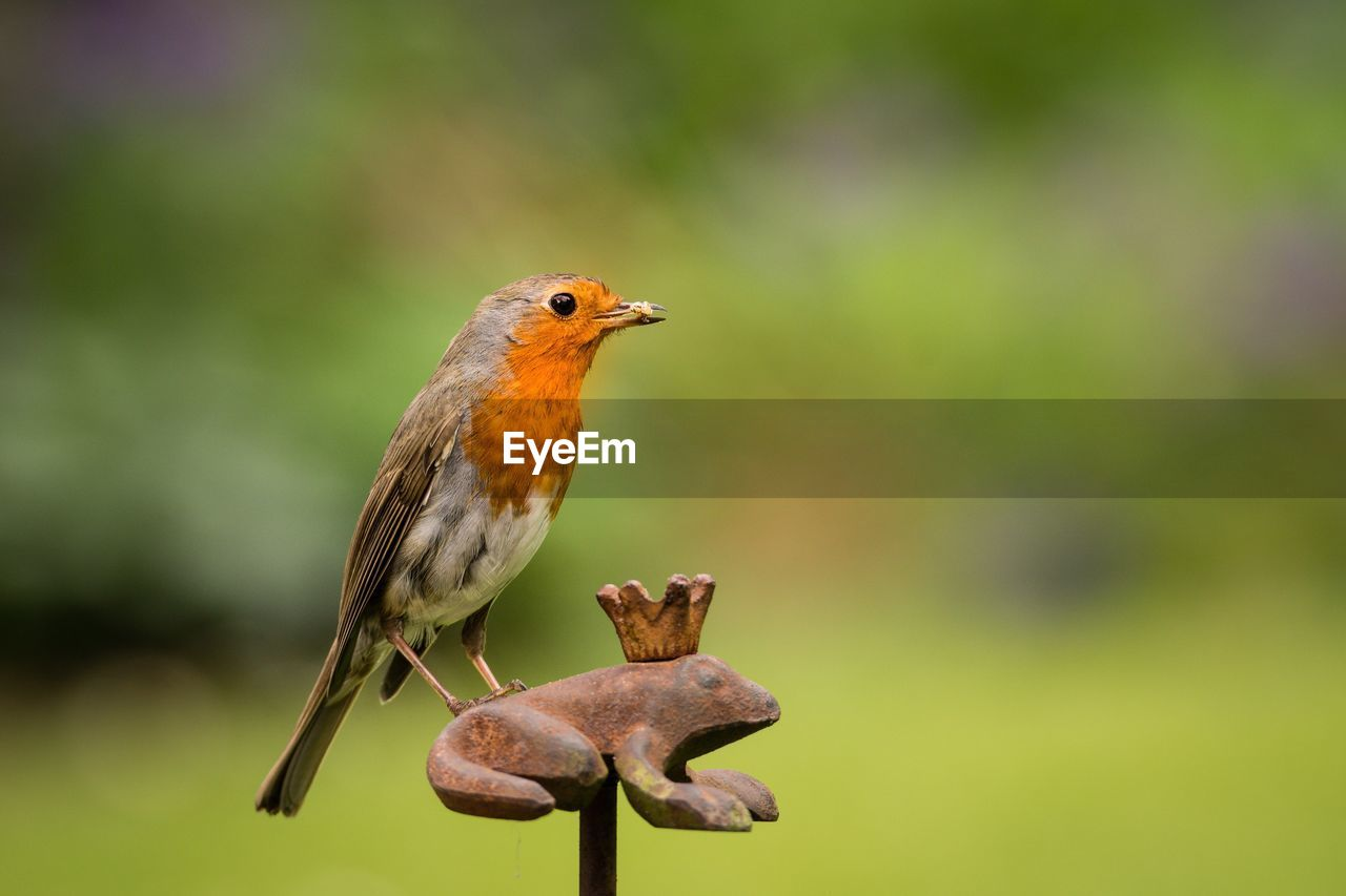 Close-Up Of Robin With Worm In Beak Perching On Rusty Metallic Frog At Park