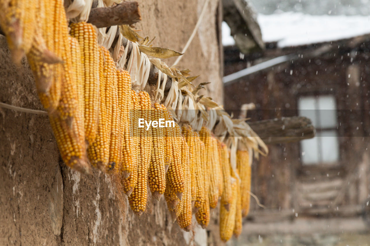 Low Angle View Of Sweetcorns Hanging From Wall