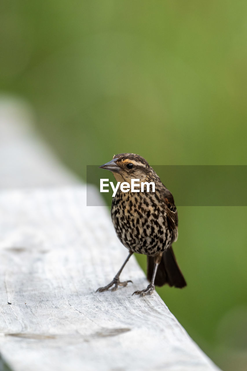animal themes, animal, bird, animals in the wild, animal wildlife, one animal, vertebrate, perching, day, no people, focus on foreground, selective focus, close-up, outdoors, nature, wood - material, songbird, zoology, beauty in nature, starling, small