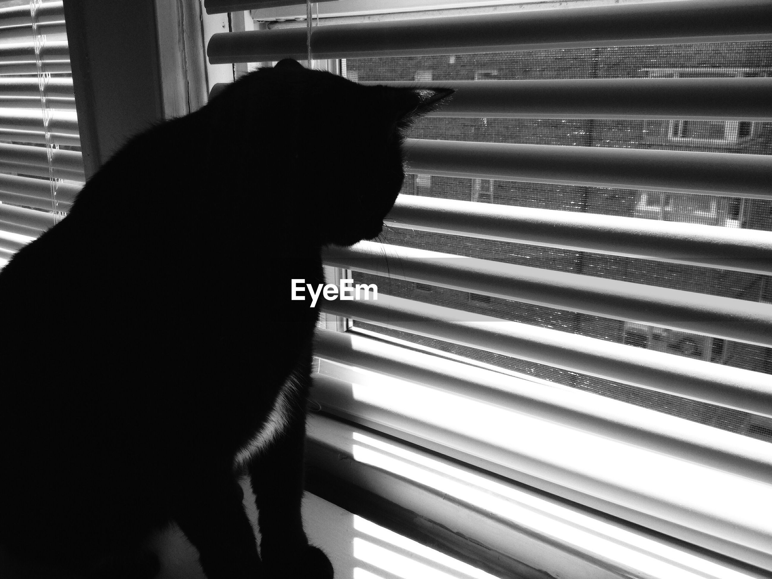 Black cat looking through blinds