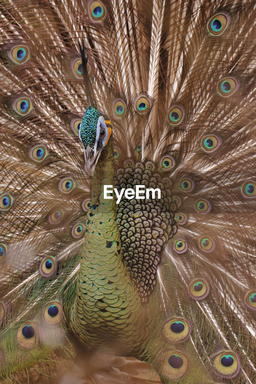 animal themes, peacock, bird, animal, vertebrate, animal wildlife, animals in the wild, peacock feather, feather, no people, one animal, fanned out, close-up, full frame, natural pattern, beauty in nature, day, multi colored, animal body part, green color, outdoors, animal head, animal neck, animal eye
