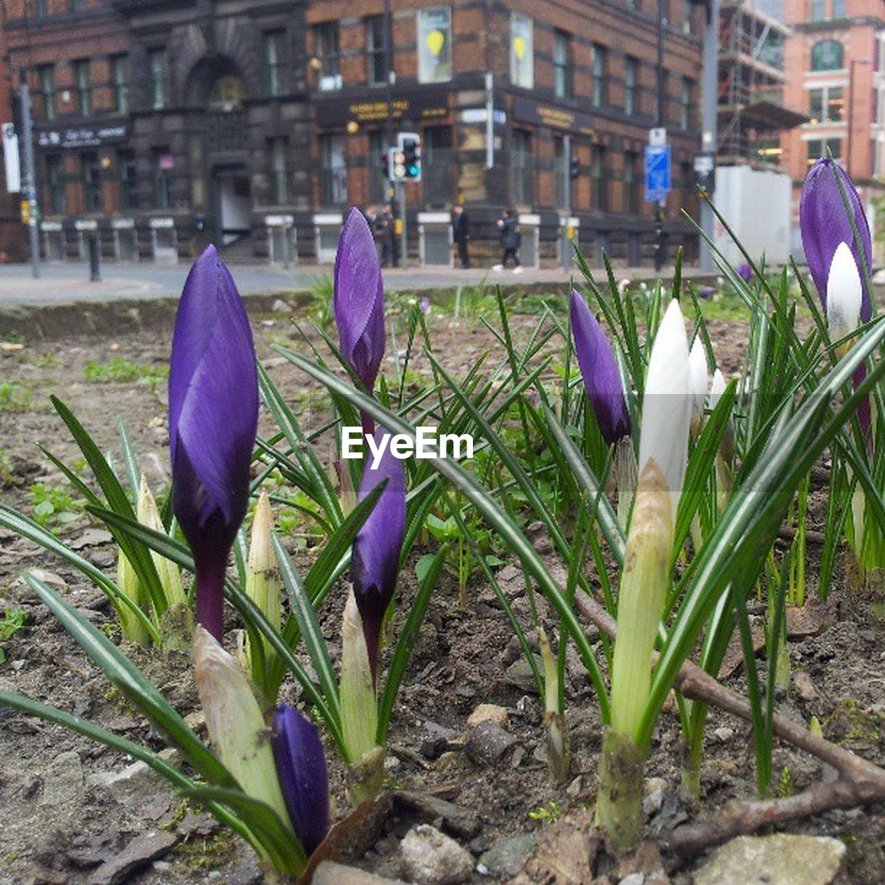 flower, freshness, petal, flower head, nature, growth, purple, fragility, beauty in nature, plant, outdoors, day, crocus, focus on foreground, blooming, springtime, built structure, building exterior, snowdrop, close-up, architecture, no people