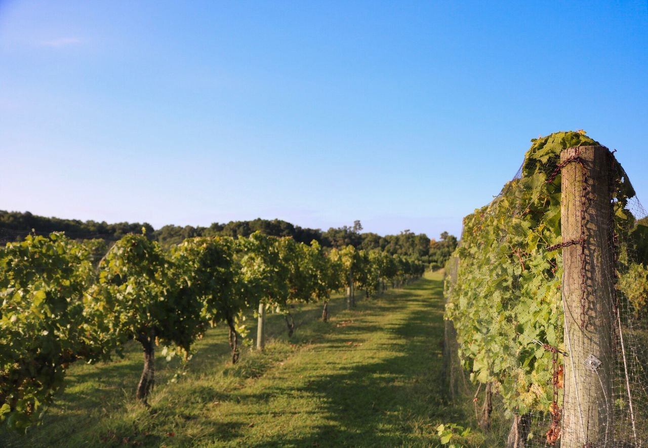 clear sky, copy space, agriculture, vineyard, field, scenics, nature, landscape, tranquil scene, rural scene, no people, growth, winemaking, green color, day, tranquility, outdoors, tree, beauty in nature, sky
