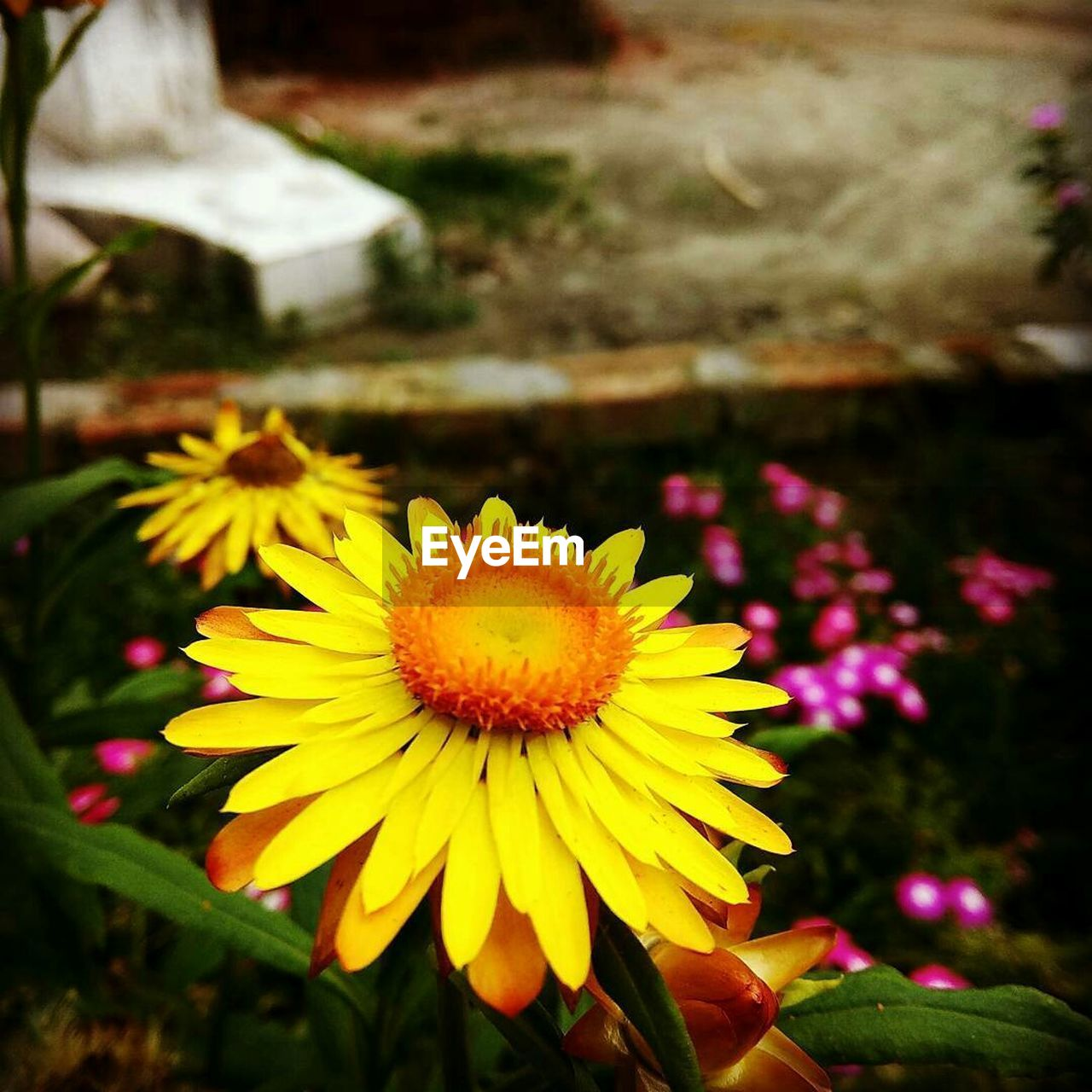 flower, yellow, fragility, beauty in nature, nature, petal, flower head, freshness, growth, plant, focus on foreground, no people, outdoors, close-up, day, blooming