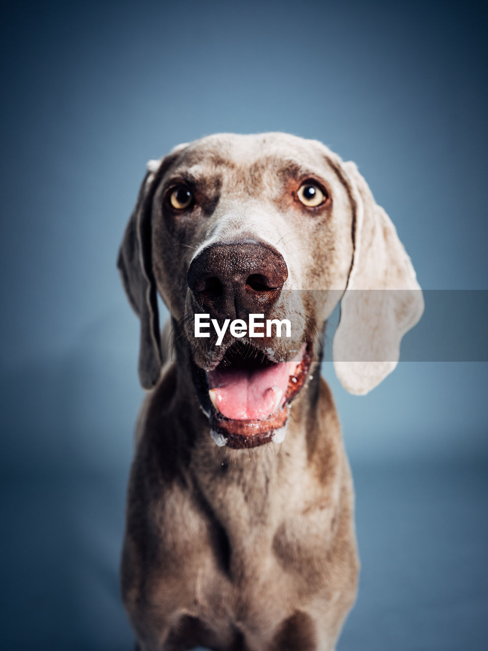 dog, canine, one animal, domestic, mammal, domestic animals, portrait, looking at camera, pets, vertebrate, close-up, focus on foreground, no people, weimaraner, front view, studio shot, indoors, mouth open, blue background, purebred dog, animal mouth, animal eye