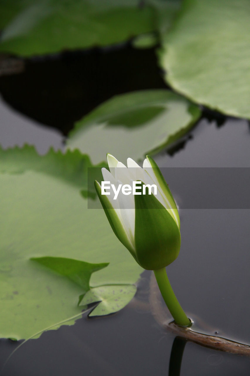 plant, leaf, vulnerability, flower, plant part, flowering plant, beauty in nature, fragility, close-up, water lily, green color, freshness, growth, petal, lake, nature, flower head, inflorescence, water, lotus water lily, no people, floating on water, outdoors